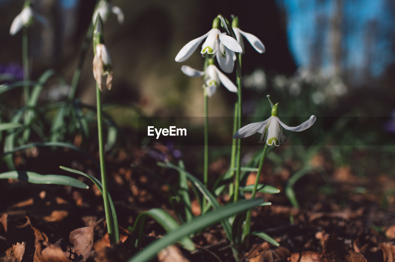 plant, growth, vulnerability, fragility, beauty in nature, flowering plant, freshness, flower, petal, close-up, focus on foreground, nature, snowdrop, day, land, field, no people, white color, selective focus, flower head, outdoors
