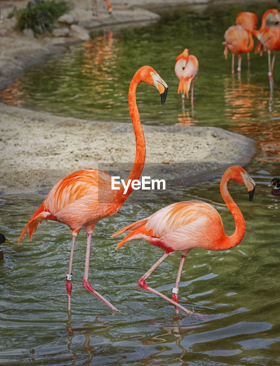animal themes, bird, animals in the wild, flamingo, animal wildlife, animal, water, vertebrate, group of animals, lake, pink color, no people, day, beauty in nature, orange color, nature, wading, reflection, standing, animal neck, freshwater bird, drinking