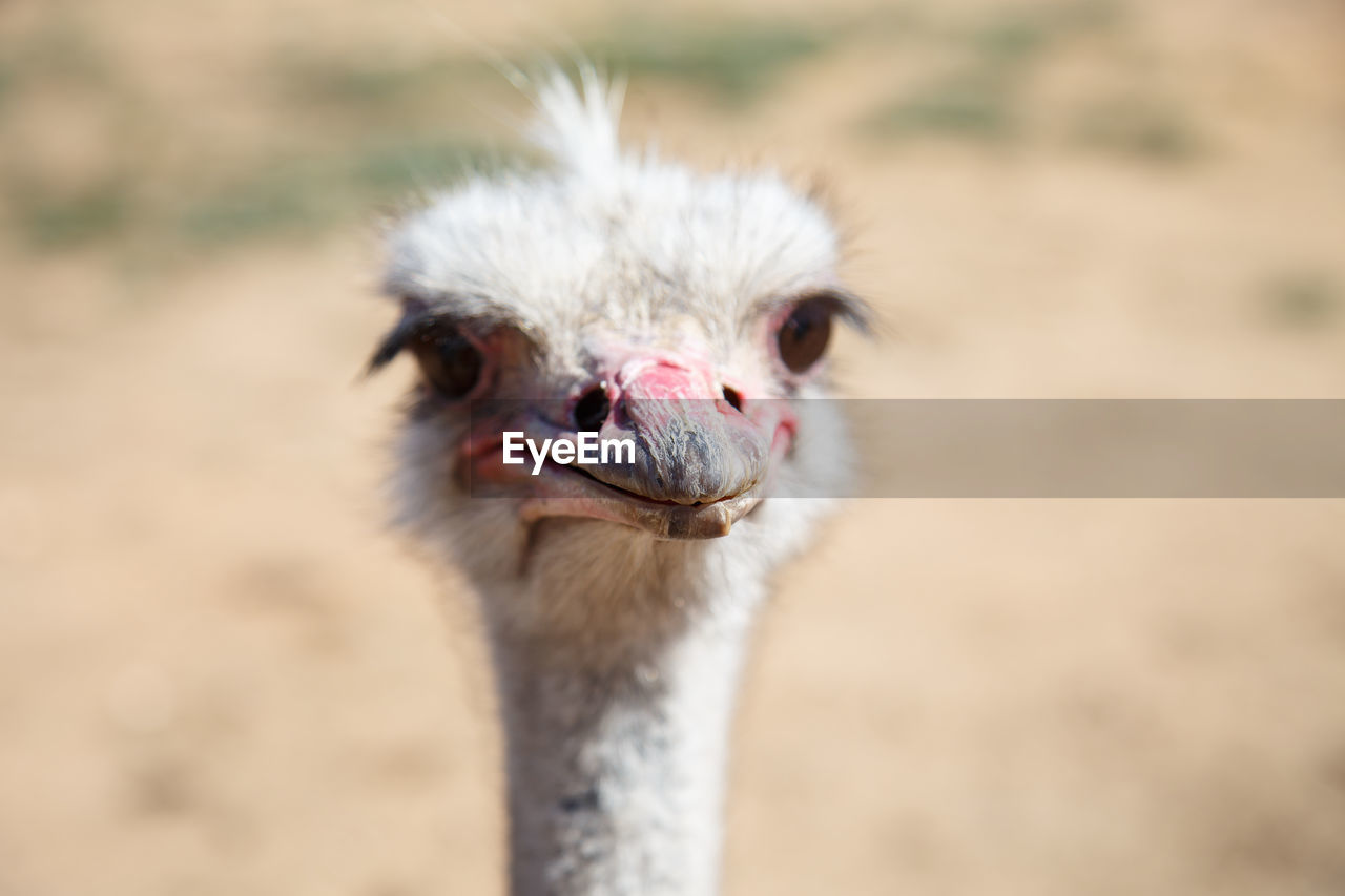 Close-Up Portrait Of Ostrich During Sunny Day