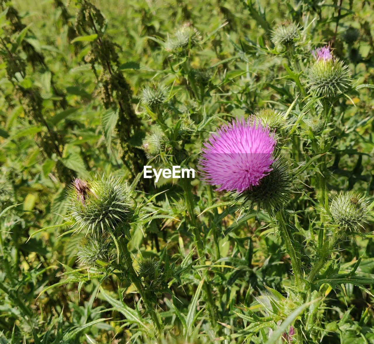 flowering plant, flower, plant, freshness, growth, beauty in nature, green color, fragility, vulnerability, inflorescence, flower head, petal, close-up, nature, pink color, no people, thistle, land, field, day, outdoors, purple