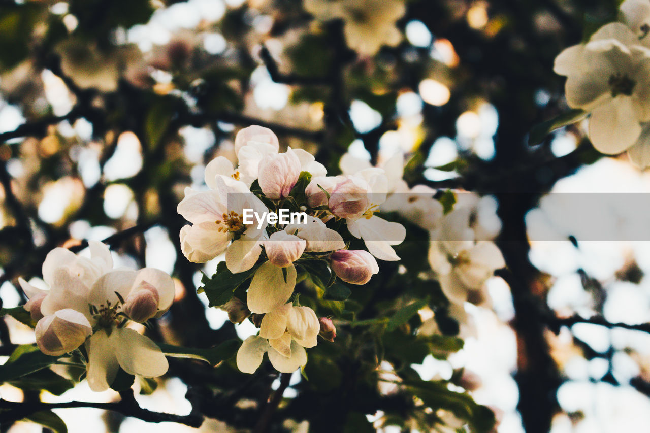 flower, beauty in nature, white color, nature, blossom, petal, fragility, freshness, growth, no people, focus on foreground, flower head, springtime, close-up, day, tree, blooming, outdoors, branch
