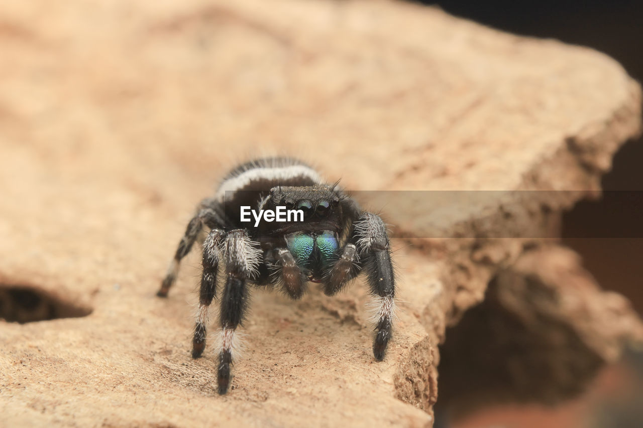 animal themes, one animal, animal, animals in the wild, animal wildlife, invertebrate, insect, arachnid, arthropod, spider, zoology, close-up, jumping spider, selective focus, day, nature, animal leg, no people, focus on foreground, solid, outdoors, animal eye