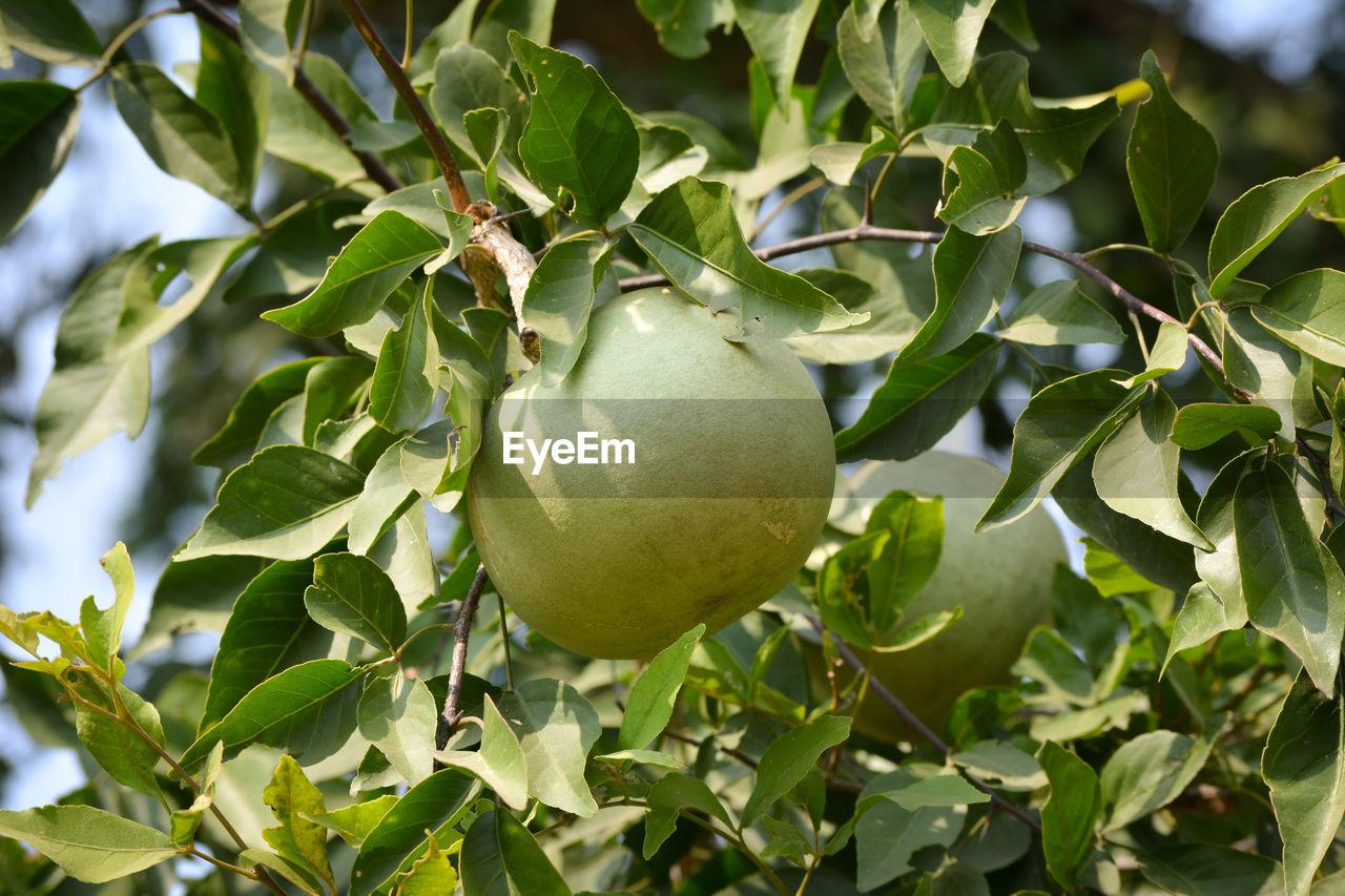 CLOSE-UP OF FRESH FRUIT ON TREE