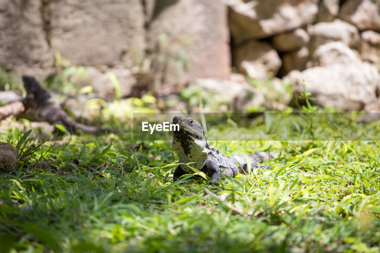 animal themes, animal, vertebrate, animal wildlife, animals in the wild, plant, grass, one animal, selective focus, reptile, nature, day, no people, field, land, green color, outdoors, mammal, solid, iguana