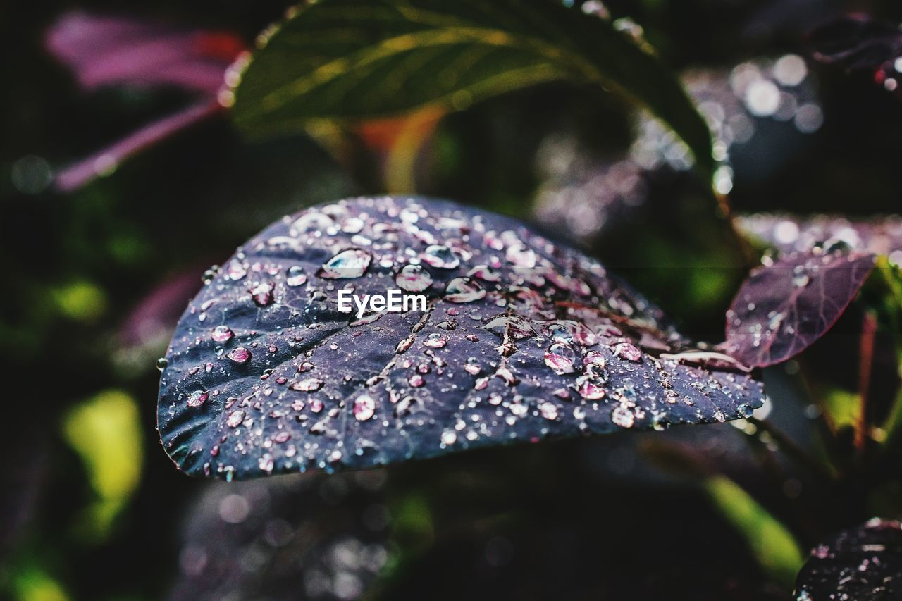 leaf, plant part, close-up, nature, plant, selective focus, water, drop, wet, no people, day, beauty in nature, growth, focus on foreground, outdoors, freshness, raindrop, rain, dew, purity, leaves, purple