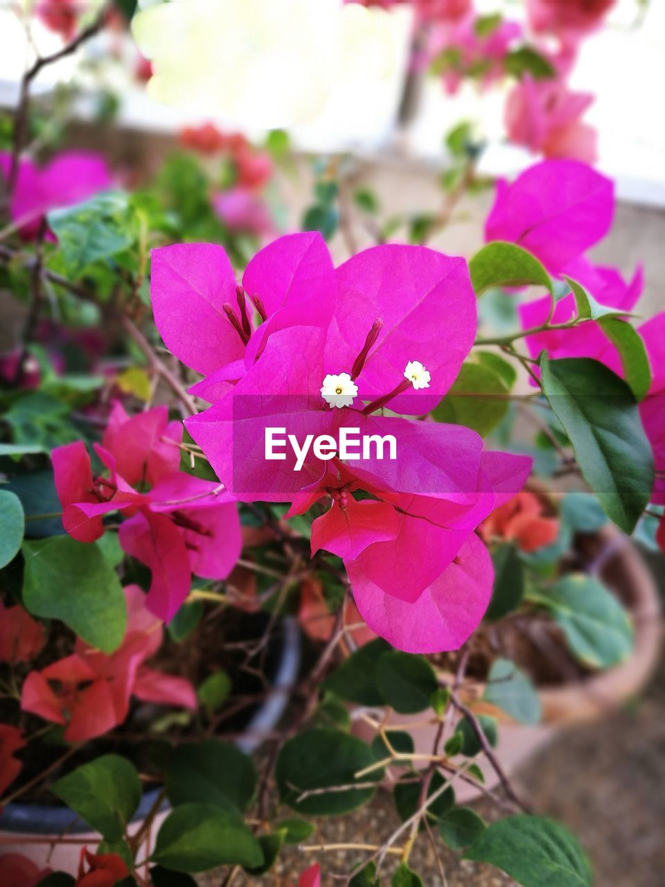 pink color, petal, growth, beauty in nature, fragility, nature, flower, day, flower head, focus on foreground, no people, plant, freshness, outdoors, leaf, periwinkle, close-up, blooming