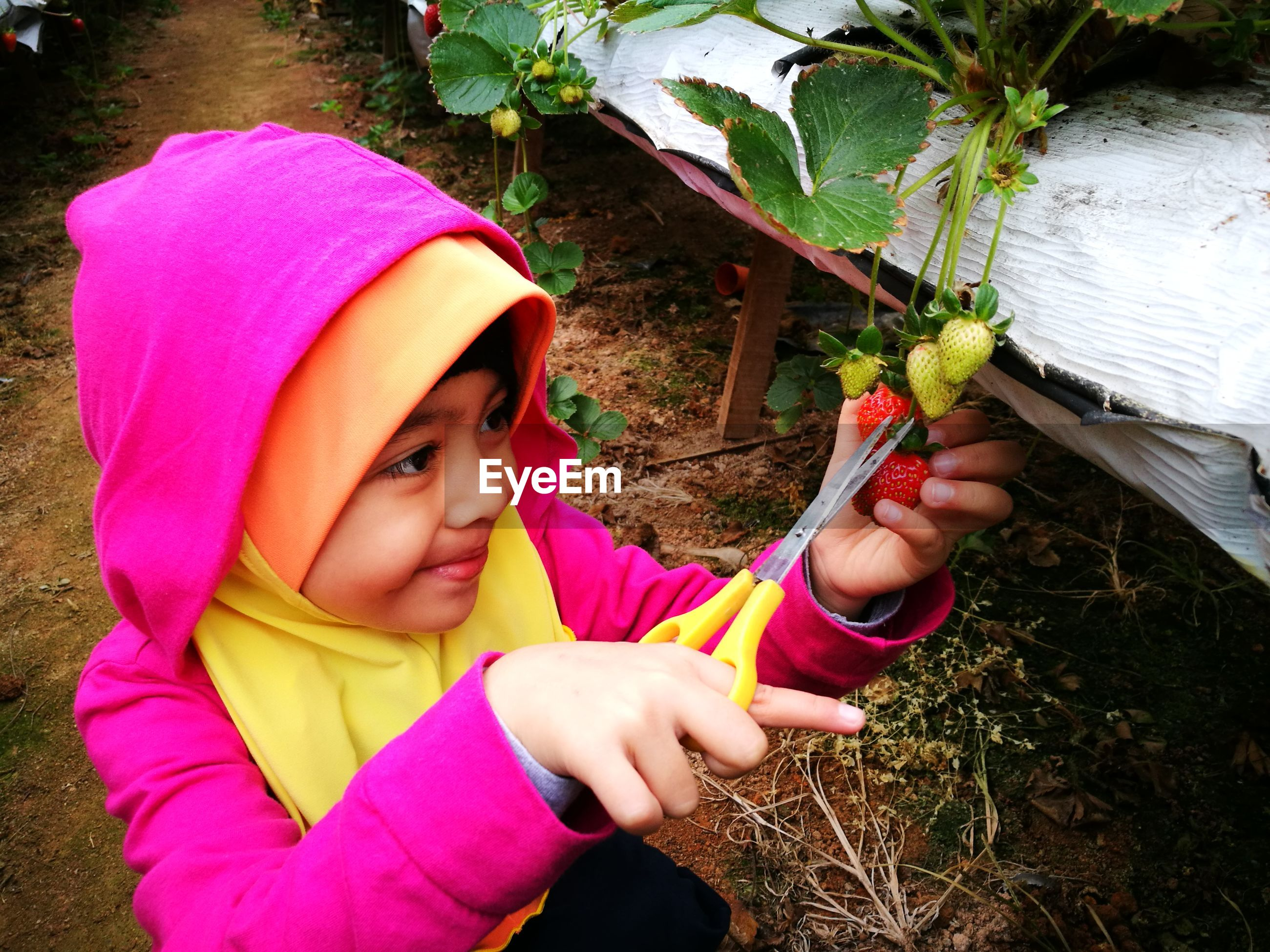 High angle view of girl cutting strawberry while harvesting in farm