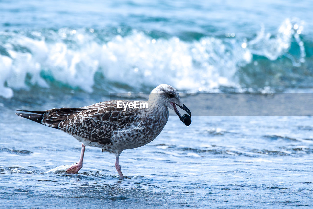 animal wildlife, animals in the wild, animal, animal themes, sea, one animal, water, bird, vertebrate, motion, nature, beach, seagull, no people, focus on foreground, wave, day, land, beauty in nature, marine