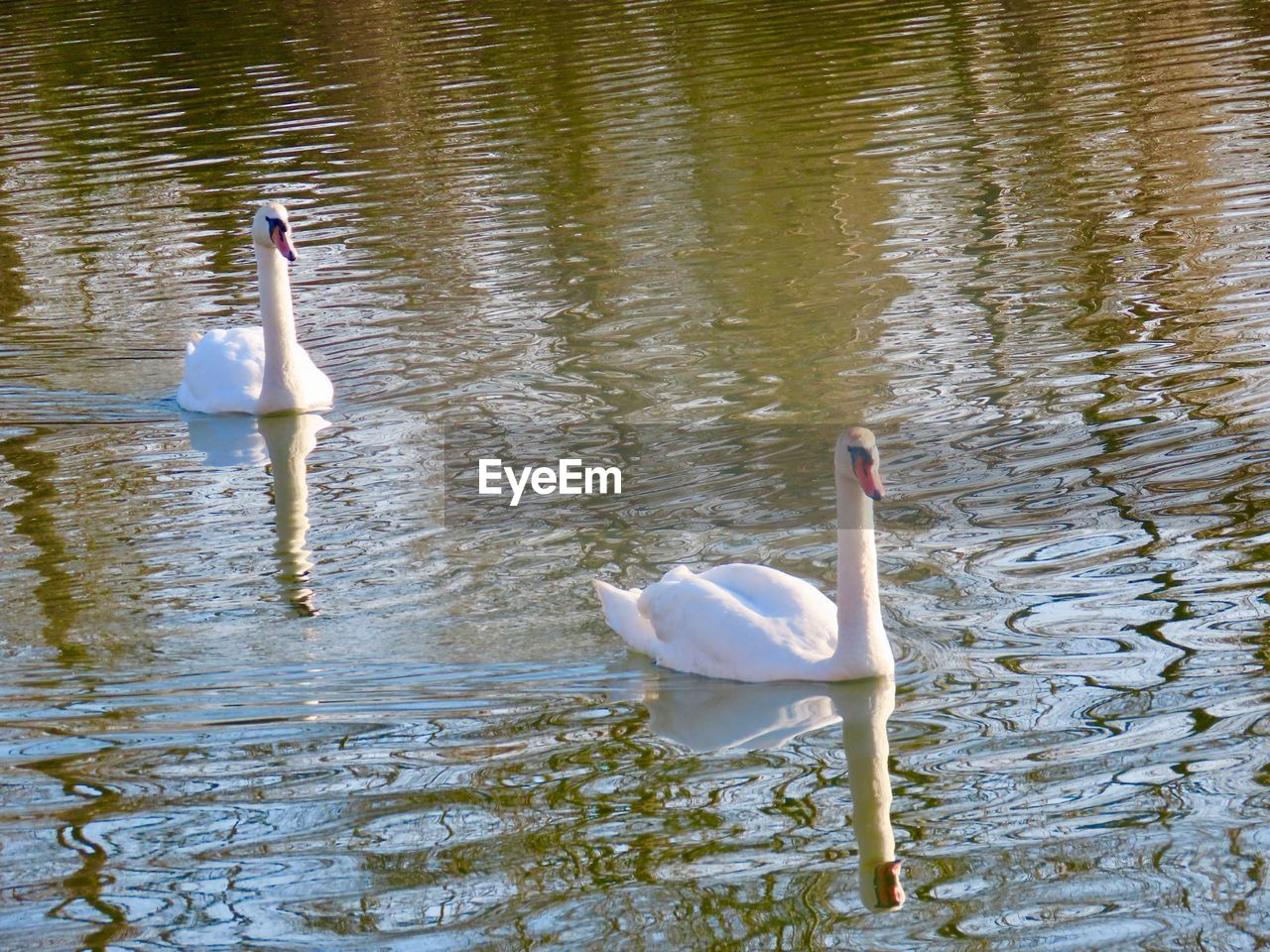 lake, bird, animal themes, water, animal, animal wildlife, vertebrate, swimming, animals in the wild, group of animals, waterfront, swan, water bird, day, reflection, no people, white color, nature, zoology, floating on water, animal family, cygnet