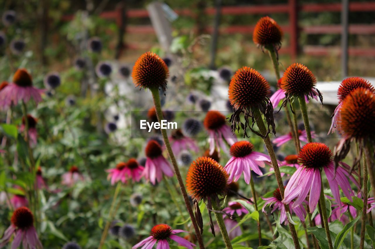 Close-Up Of Eastern Purple Coneflower Blooming In Garden