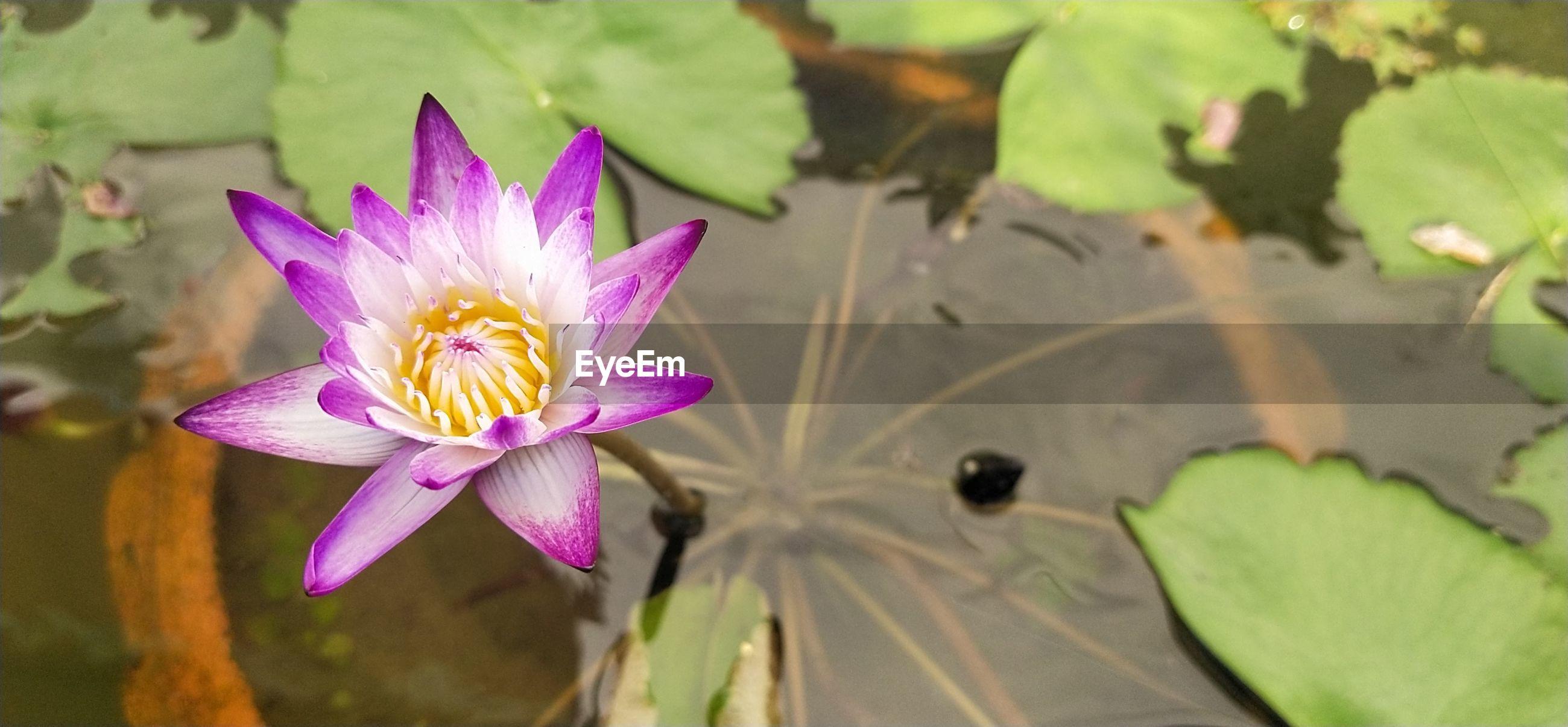 Lotus flower fanatic