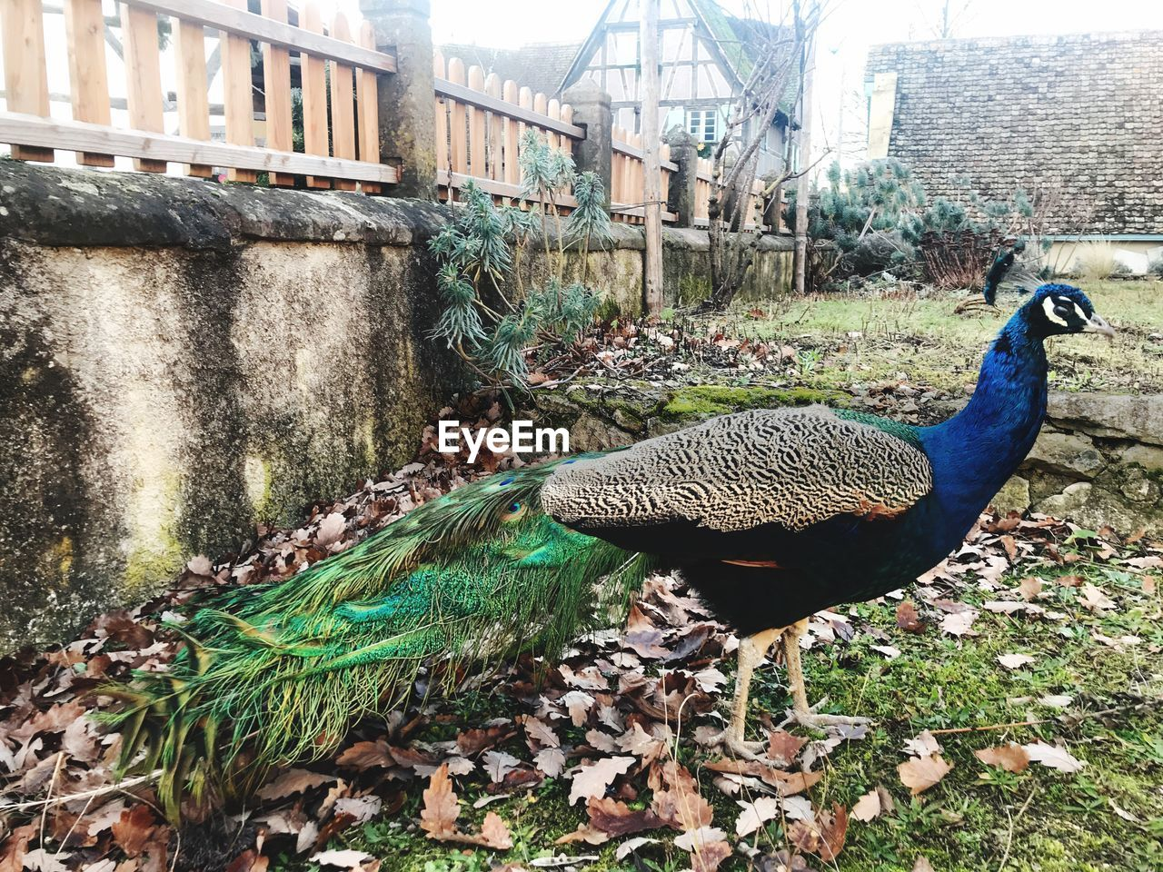 bird, animal themes, day, building exterior, animals in the wild, peacock, built structure, architecture, one animal, outdoors, no people, nature, animal wildlife, water, city, peacock feather