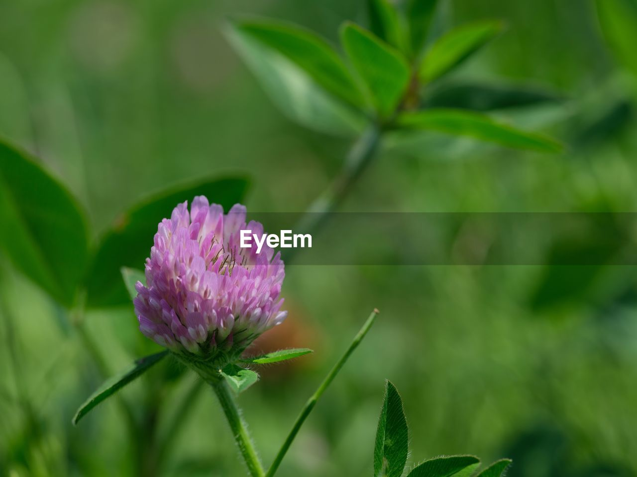flowering plant, plant, flower, beauty in nature, growth, freshness, leaf, vulnerability, fragility, plant part, flower head, petal, inflorescence, pink color, nature, green color, close-up, purple, no people, day, clover, sepal