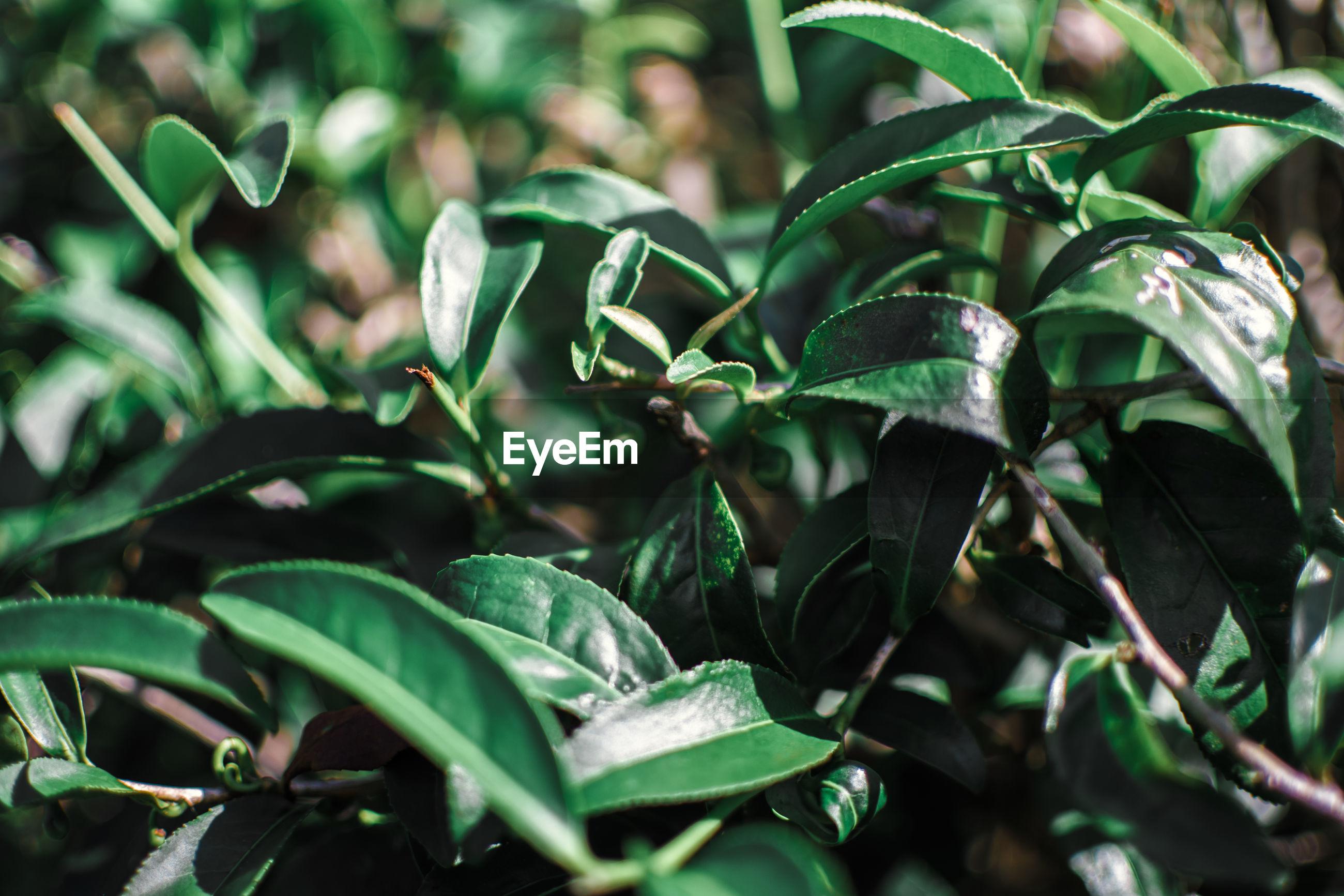 Tea plantation close up