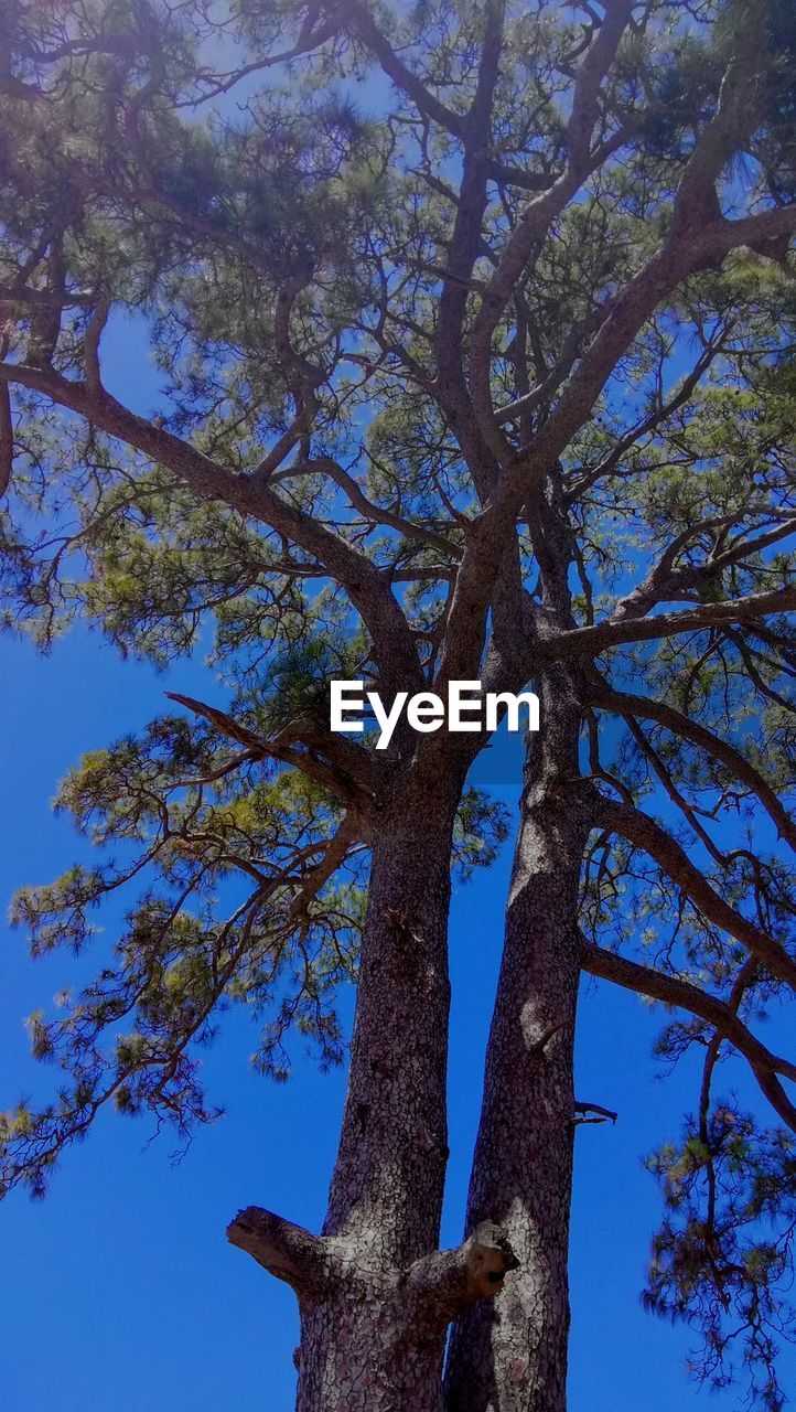 tree, plant, low angle view, tree trunk, trunk, sky, nature, branch, growth, tranquility, beauty in nature, no people, day, blue, outdoors, clear sky, sunlight, bark, backgrounds, scenics - nature, tree canopy