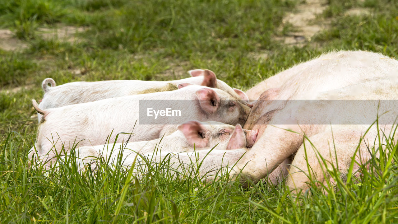 grass, animal themes, plant, animal, mammal, domestic animals, domestic, pets, livestock, nature, pig, relaxation, piglet, lying down, group of animals, young animal, day, field, land, no people, outdoors, animal family