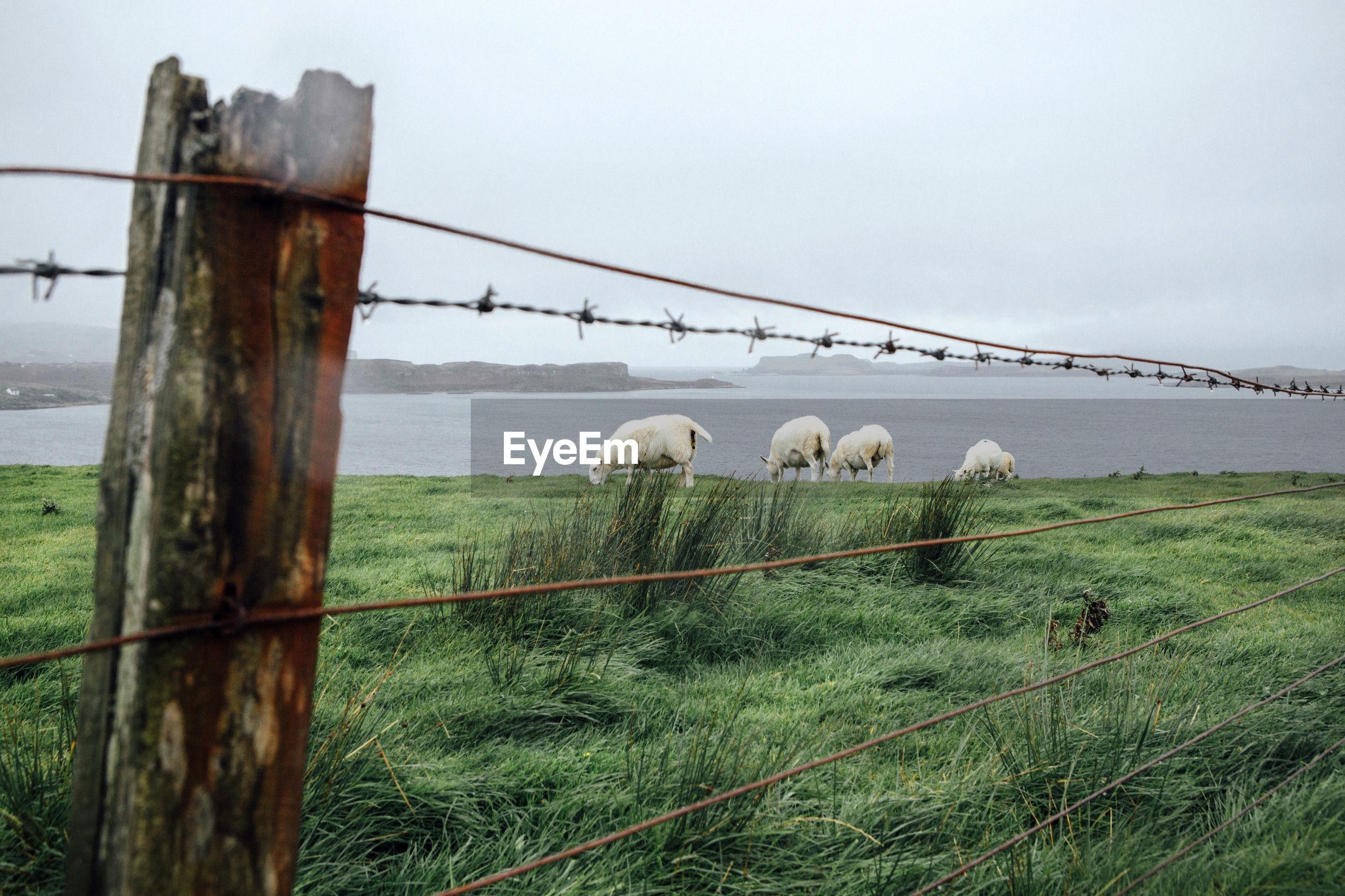 Sheep grazing at lakeshore against sky