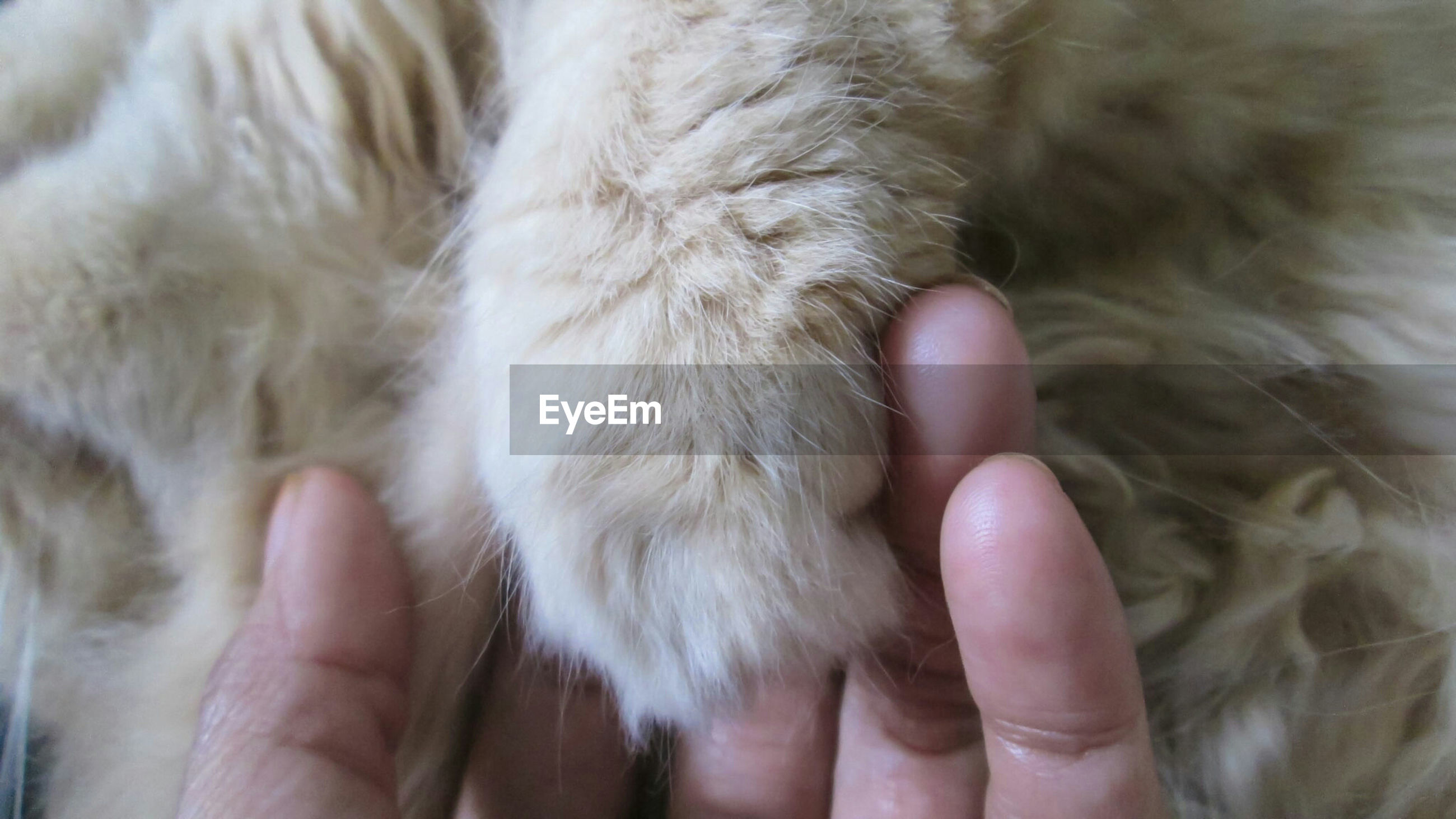 Close-up of hand touching cat paw
