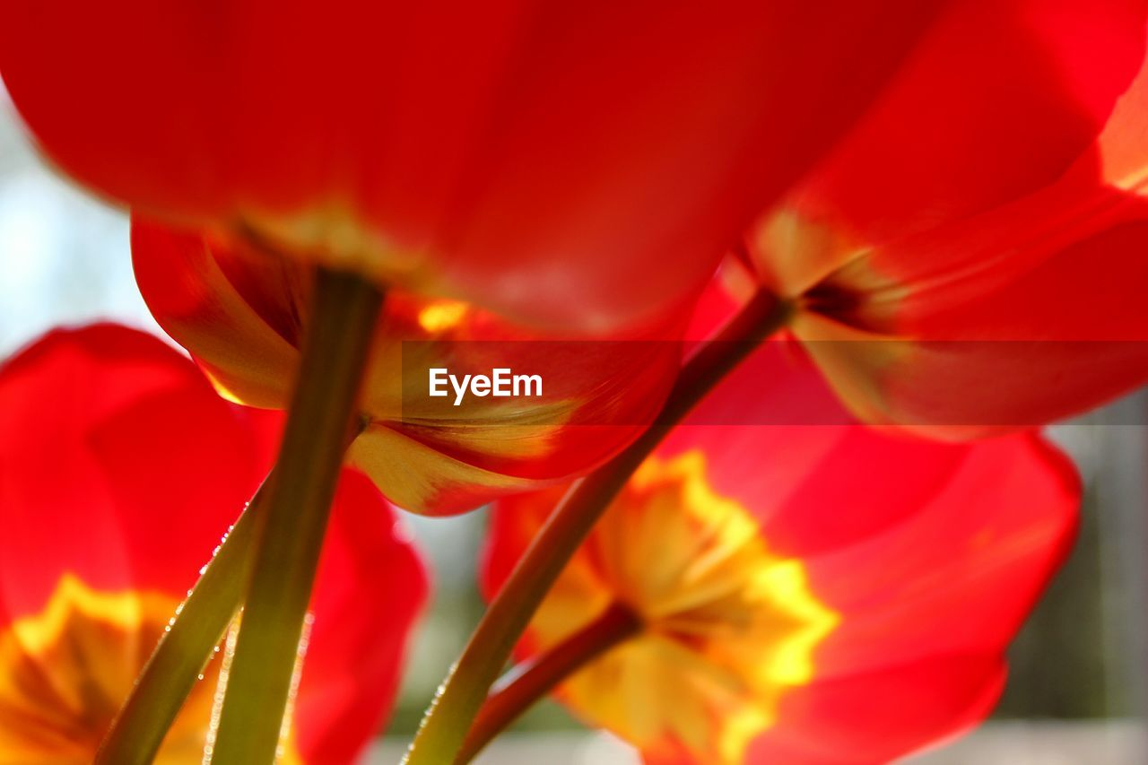 flower, petal, beauty in nature, growth, fragility, nature, freshness, flower head, close-up, red, plant, blooming, no people, outdoors, day