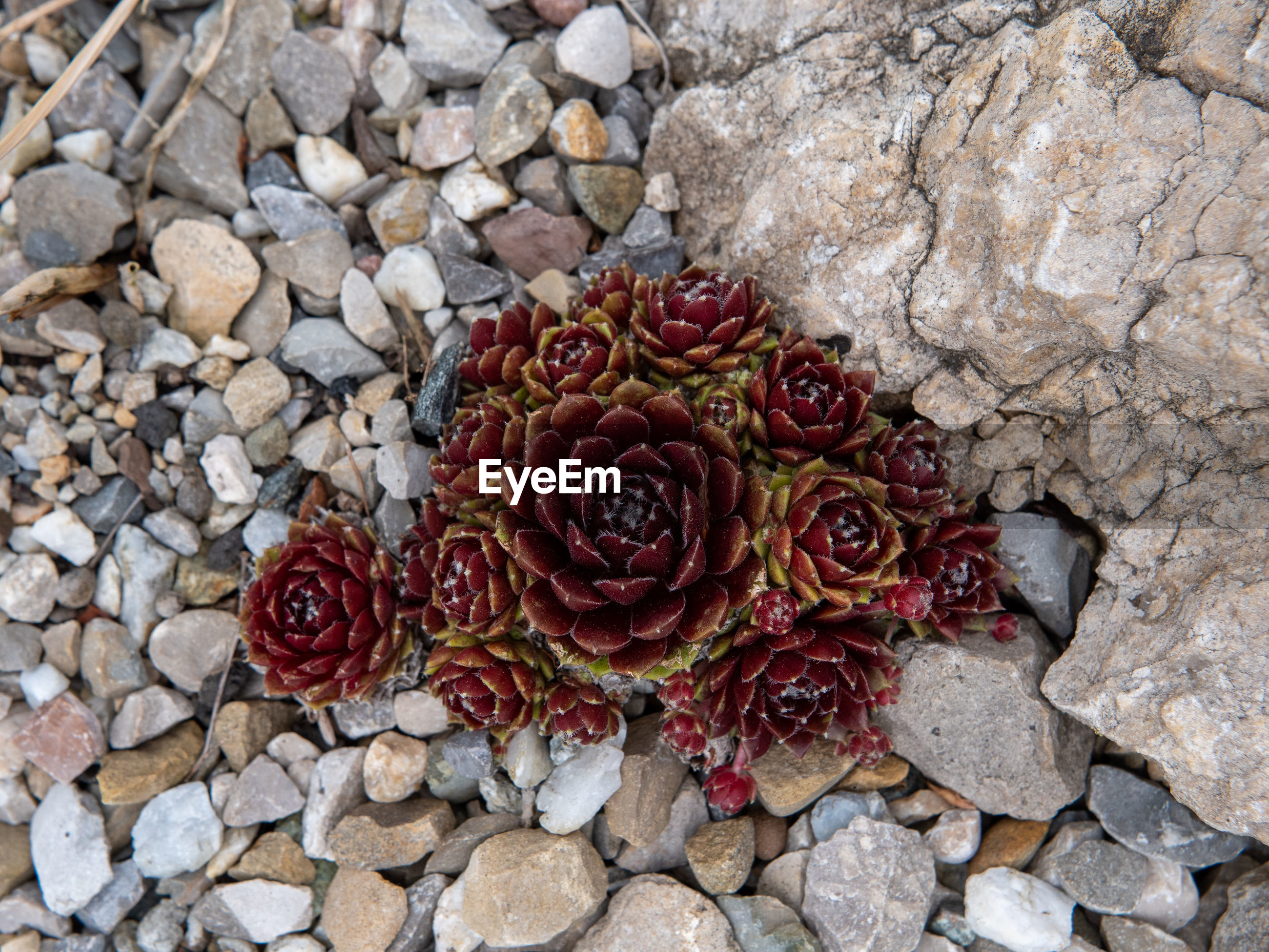 CLOSE-UP OF RED ROSE ON ROCK