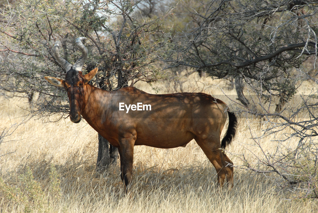 animal, animal themes, animal wildlife, mammal, one animal, domestic animals, plant, horse, tree, livestock, vertebrate, land, nature, field, domestic, no people, herbivorous, side view, day, animals in the wild, outdoors