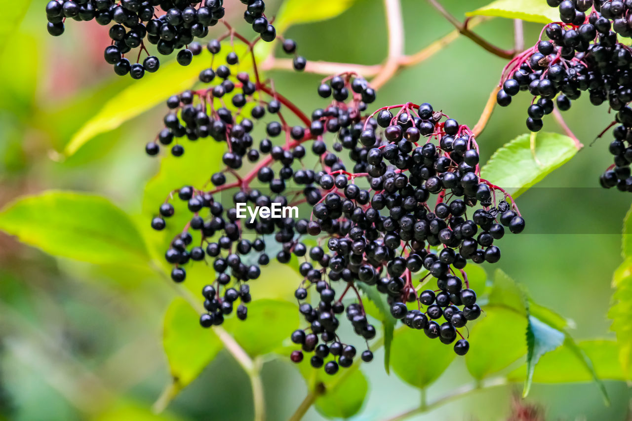 fruit, food, growth, freshness, food and drink, berry fruit, healthy eating, plant, close-up, no people, nature, day, wellbeing, leaf, plant part, ripe, selective focus, black color, bunch, focus on foreground, outdoors, winemaking