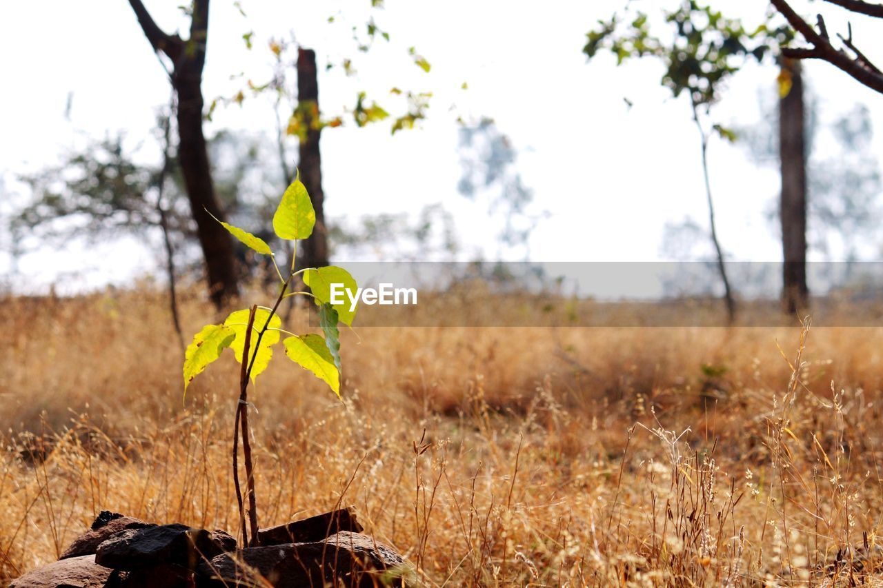 growth, plant, nature, yellow, focus on foreground, field, day, no people, beauty in nature, outdoors, fragility, tree, close-up, flower, leaf, freshness, flower head, sky