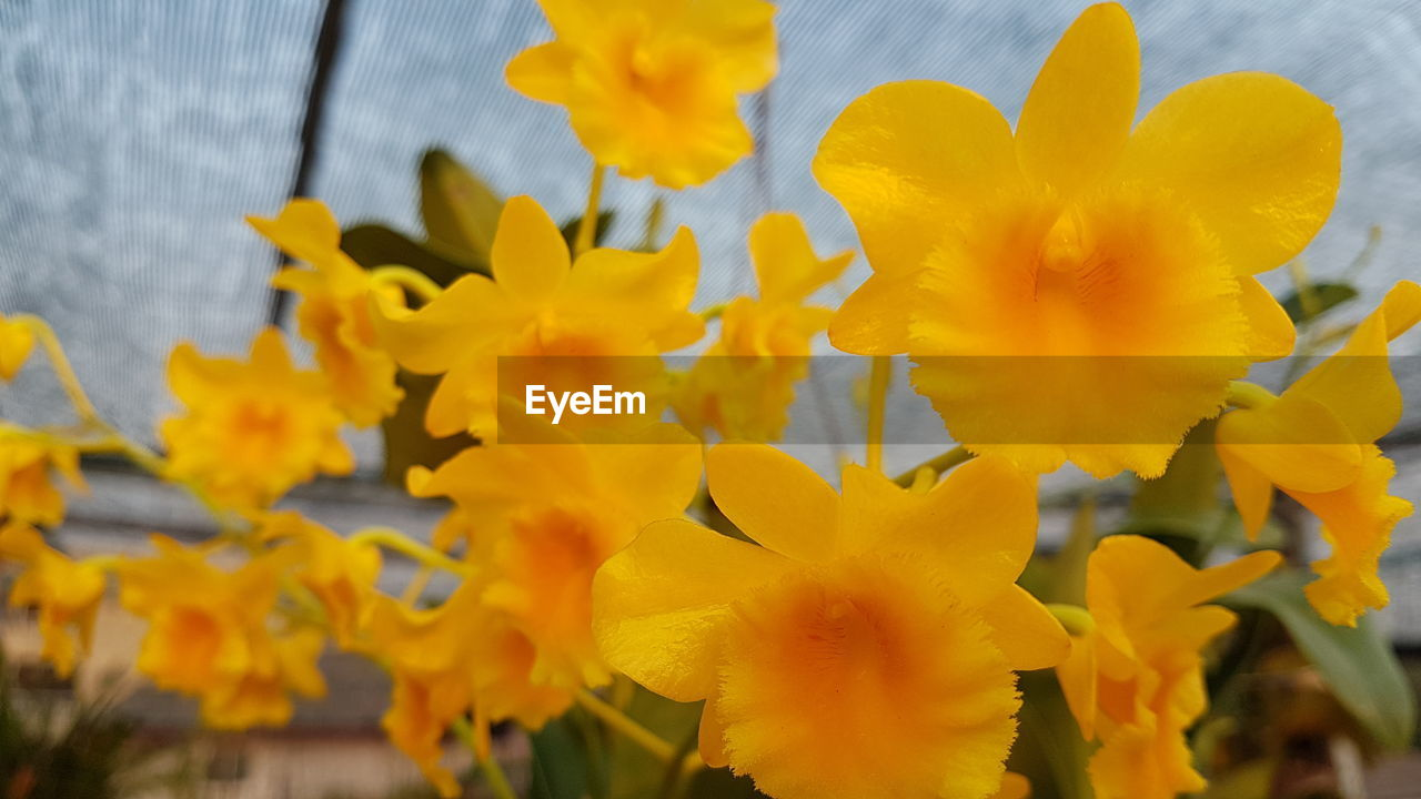 flowering plant, flower, yellow, fragility, vulnerability, petal, beauty in nature, freshness, plant, flower head, growth, inflorescence, close-up, nature, daffodil, no people, day, selective focus, focus on foreground, outdoors, pollen