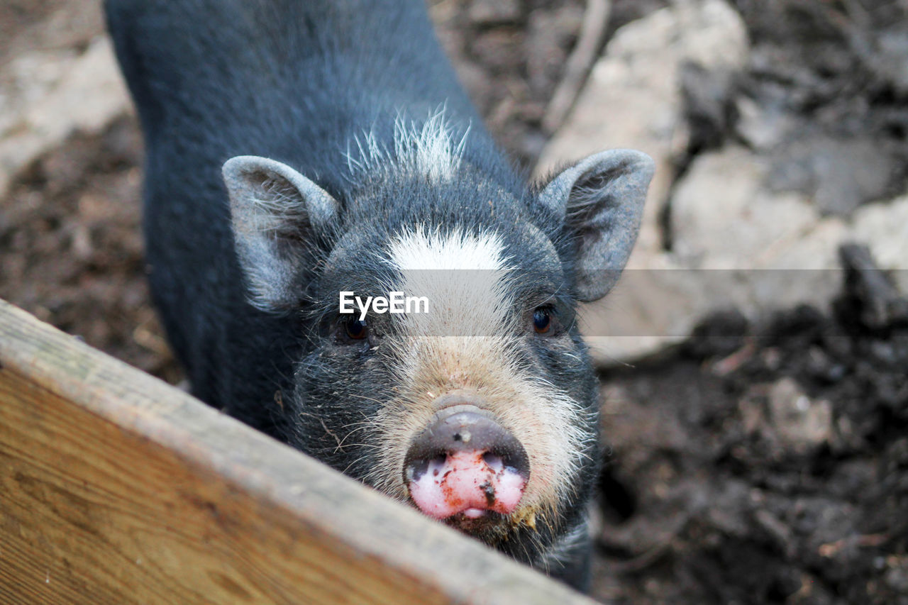 one animal, mammal, portrait, looking at camera, close-up, day, vertebrate, pets, no people, domestic animals, focus on foreground, animal body part, animal wildlife, domestic, pig, outdoors, snout, herbivorous, animal nose