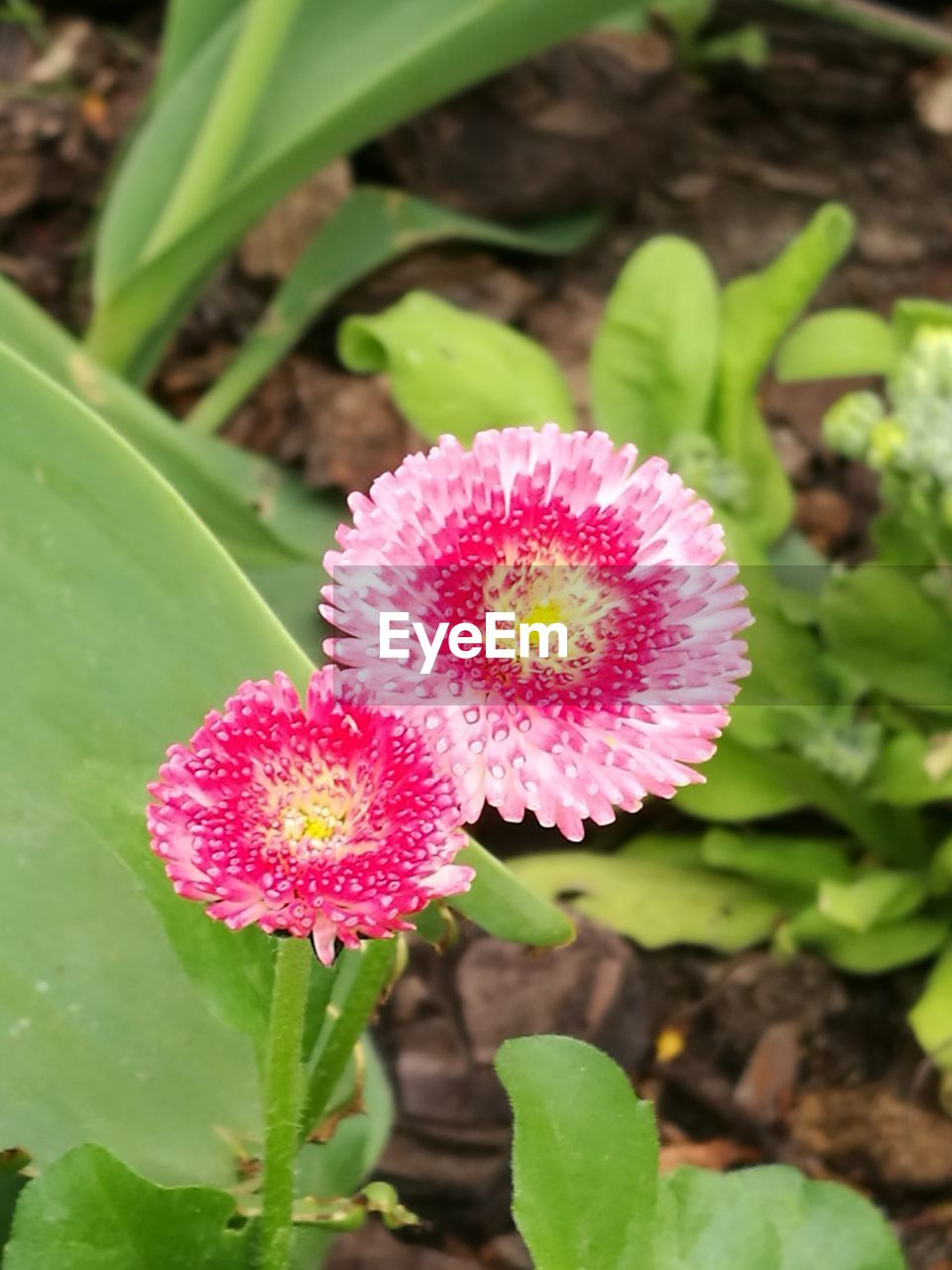 flower, growth, beauty in nature, pink color, nature, petal, freshness, leaf, plant, fragility, flower head, green color, day, close-up, outdoors, no people, blooming