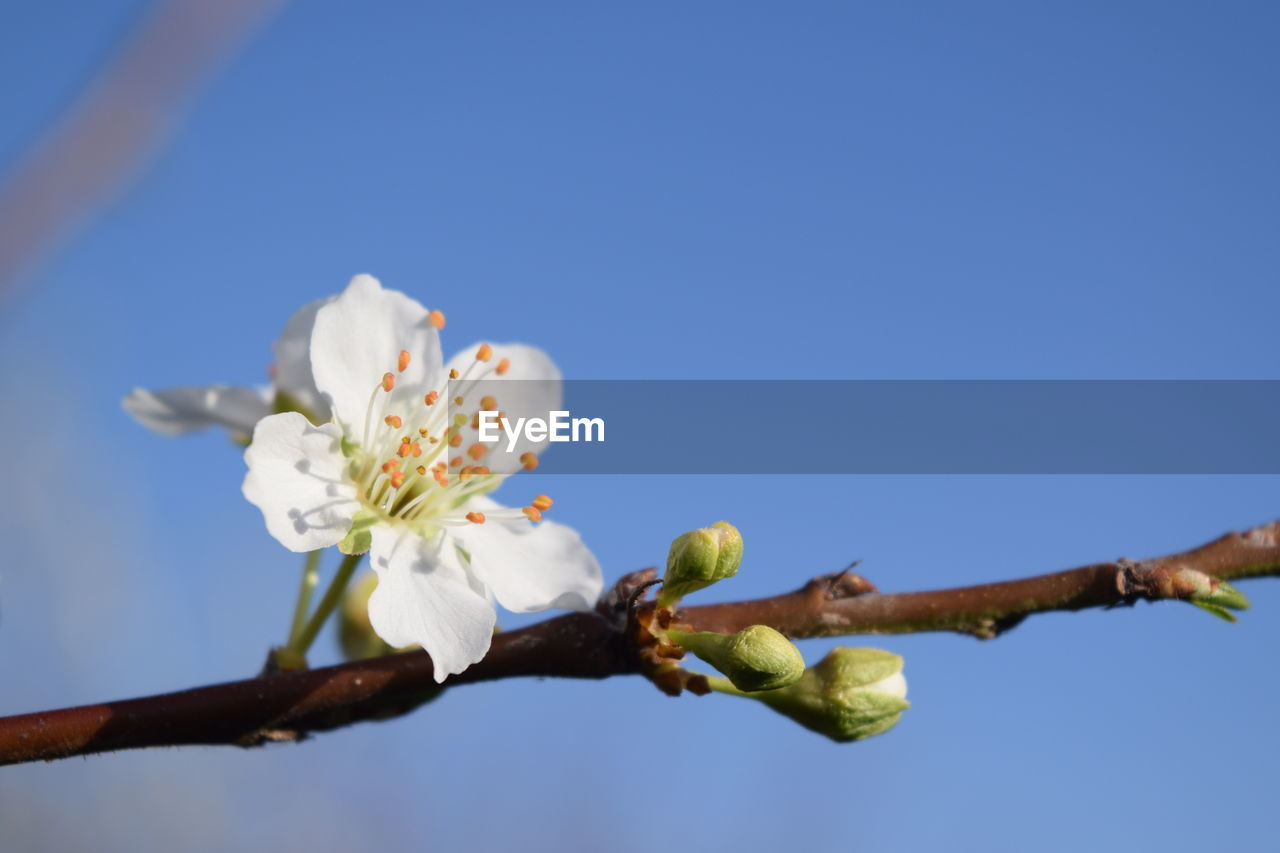 plant, flower, flowering plant, sky, low angle view, freshness, nature, beauty in nature, branch, vulnerability, fragility, tree, growth, clear sky, blue, blossom, close-up, springtime, day, copy space, no people, outdoors, flower head, pollen, cherry blossom