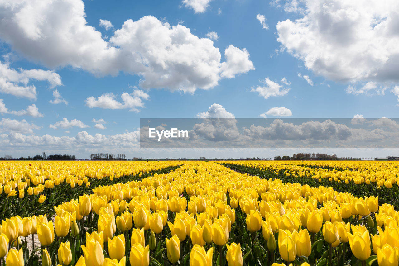 yellow, field, agriculture, nature, growth, flower, beauty in nature, cloud - sky, tranquility, rural scene, oilseed rape, tranquil scene, day, sky, abundance, no people, crop, scenics, outdoors, landscape, fragility, freshness, plant