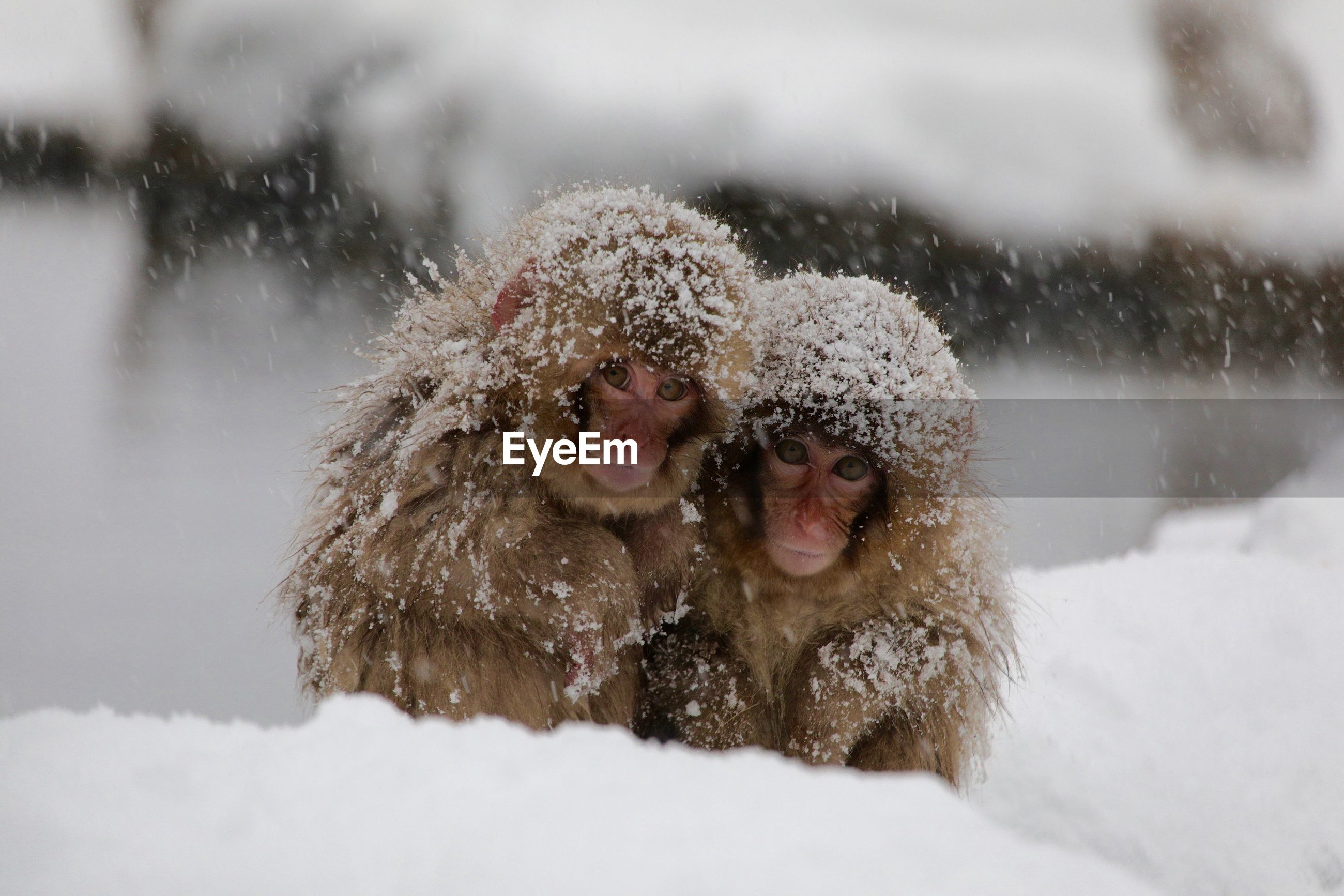 Close-up of monkeys in snow