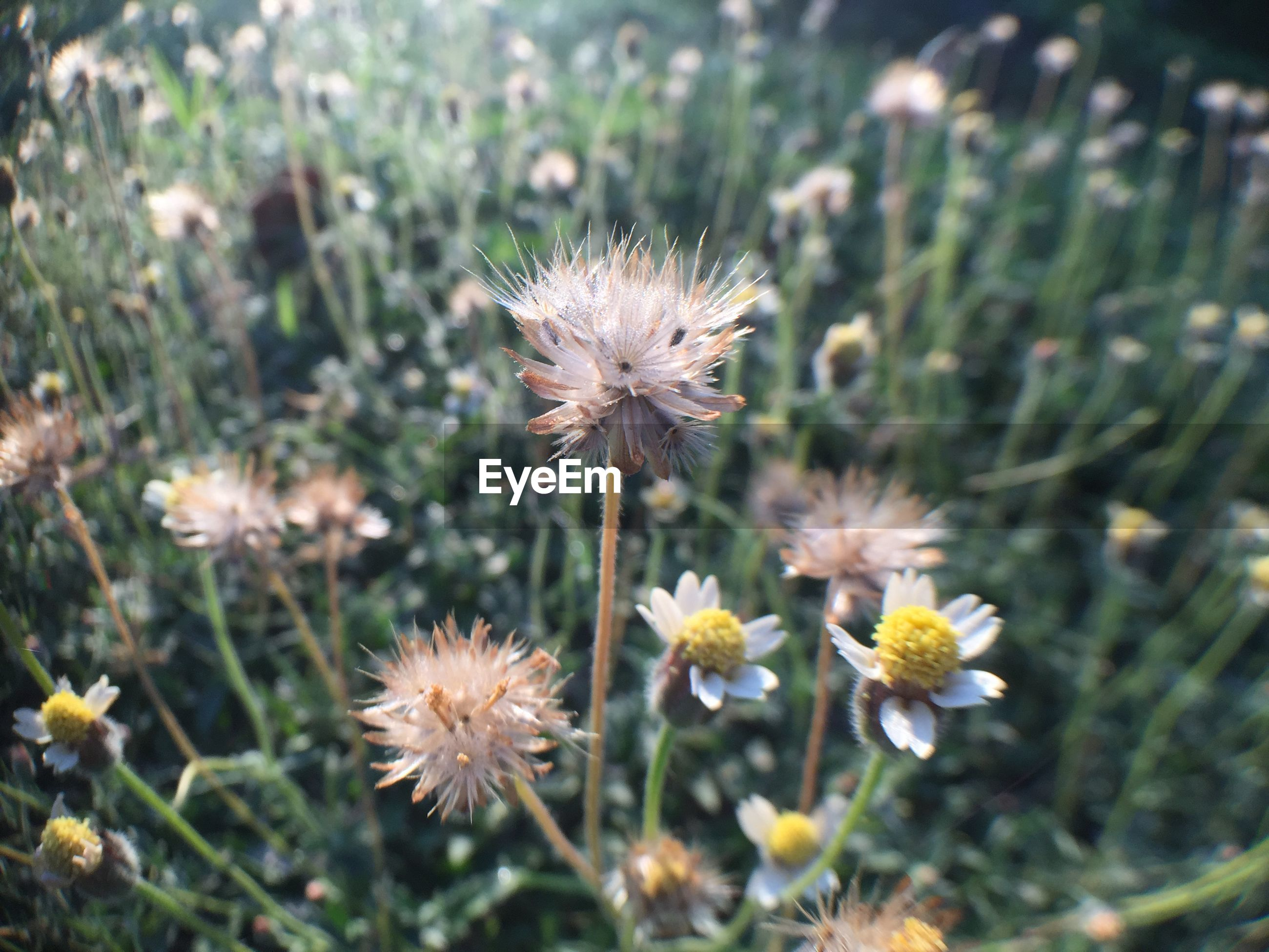 CLOSE-UP OF WHITE DANDELION FLOWERS ON FIELD