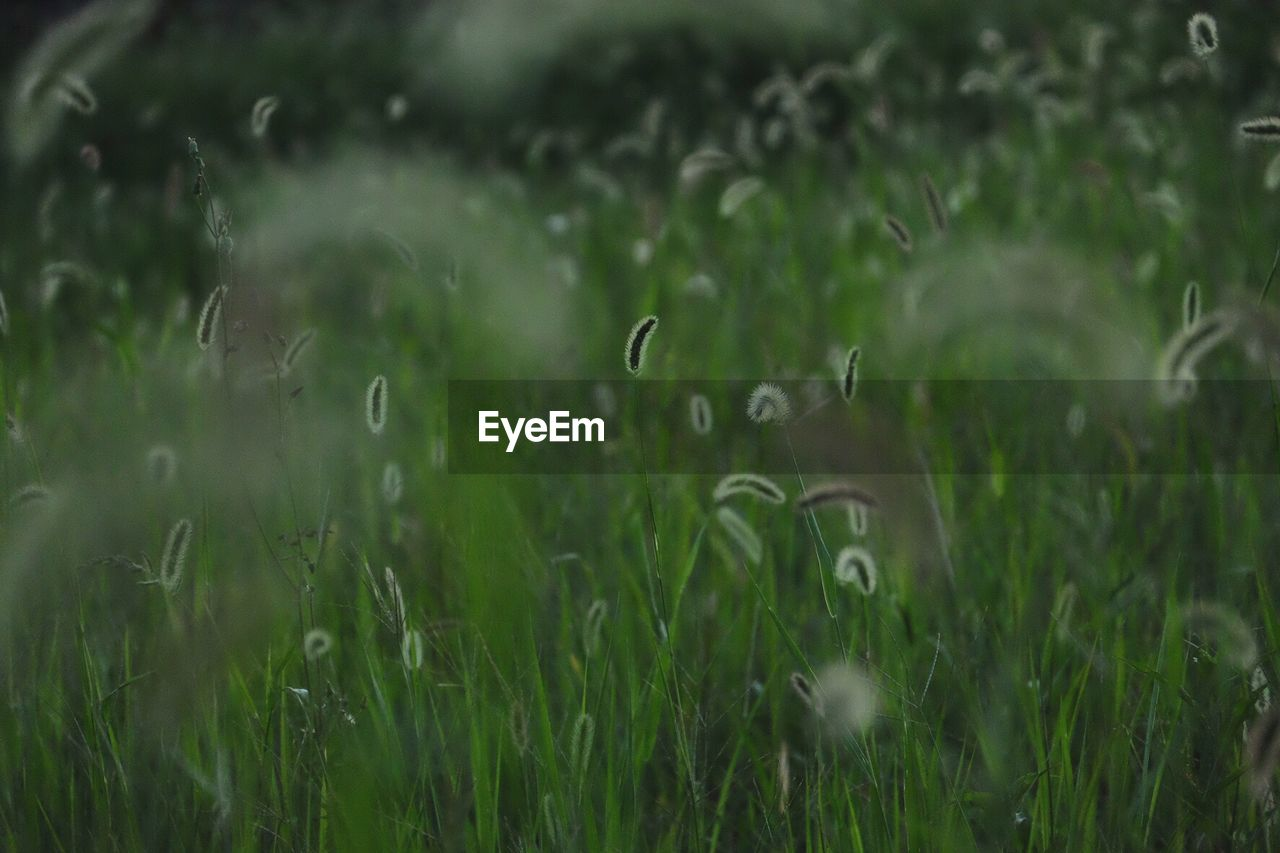 Foxtail barley on field