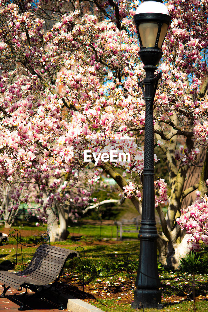 flower, flowering plant, plant, freshness, growth, lighting equipment, tree, beauty in nature, fragility, street light, springtime, blossom, pink color, nature, no people, park, vulnerability, park - man made space, street, architecture, outdoors, cherry blossom, light, cherry tree