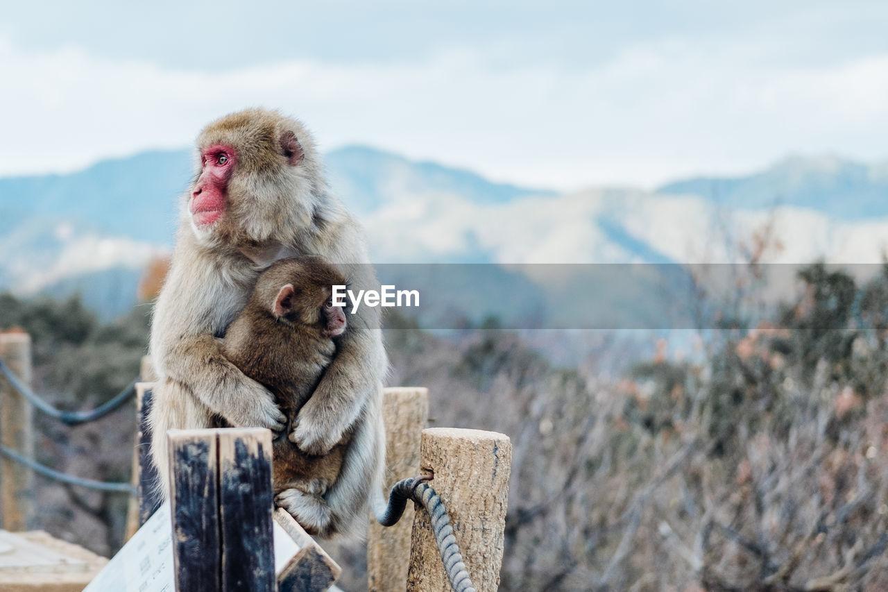 Monkeys Sitting On Wood