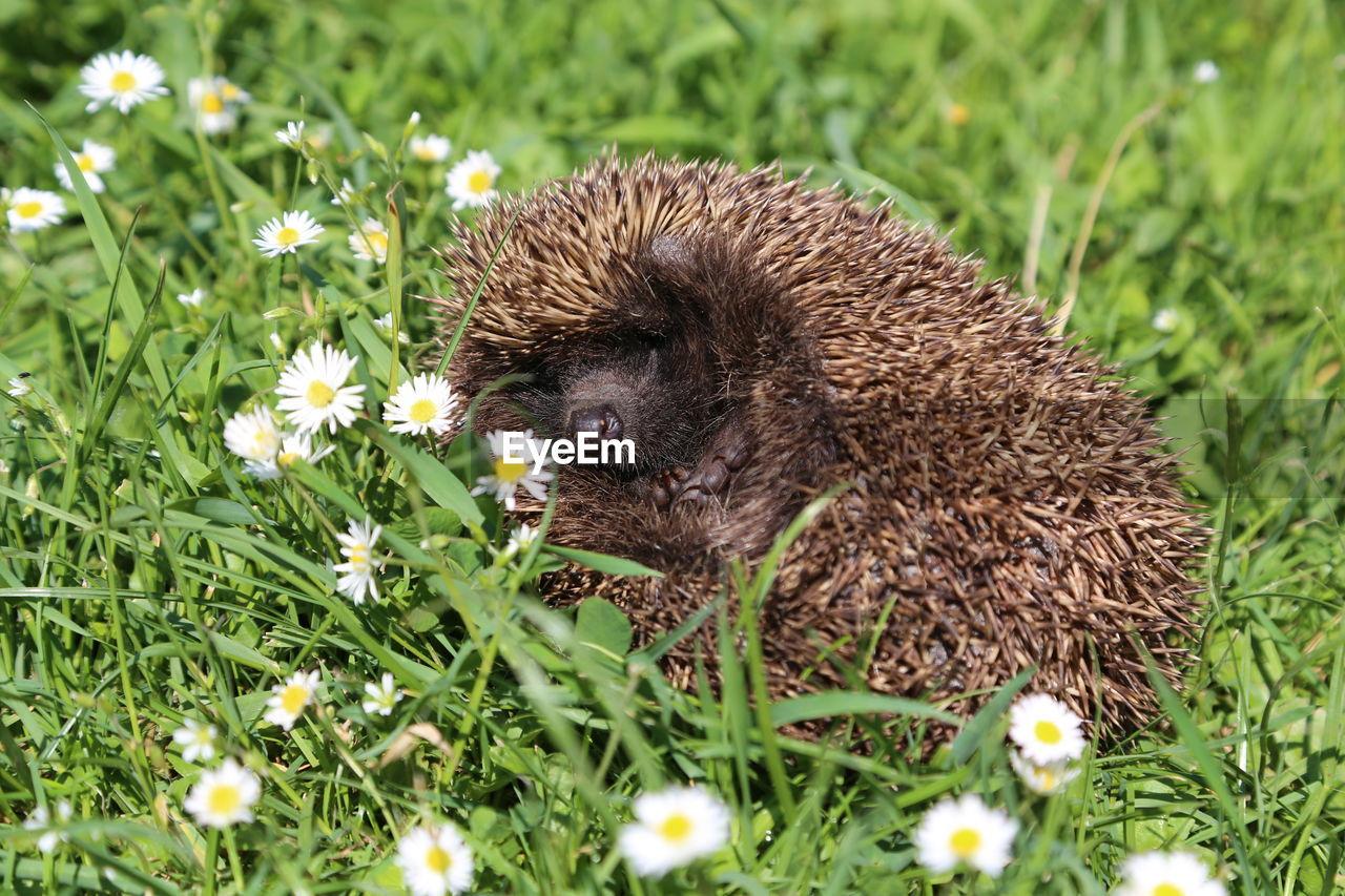 Close-up of hedgehog on grassy field