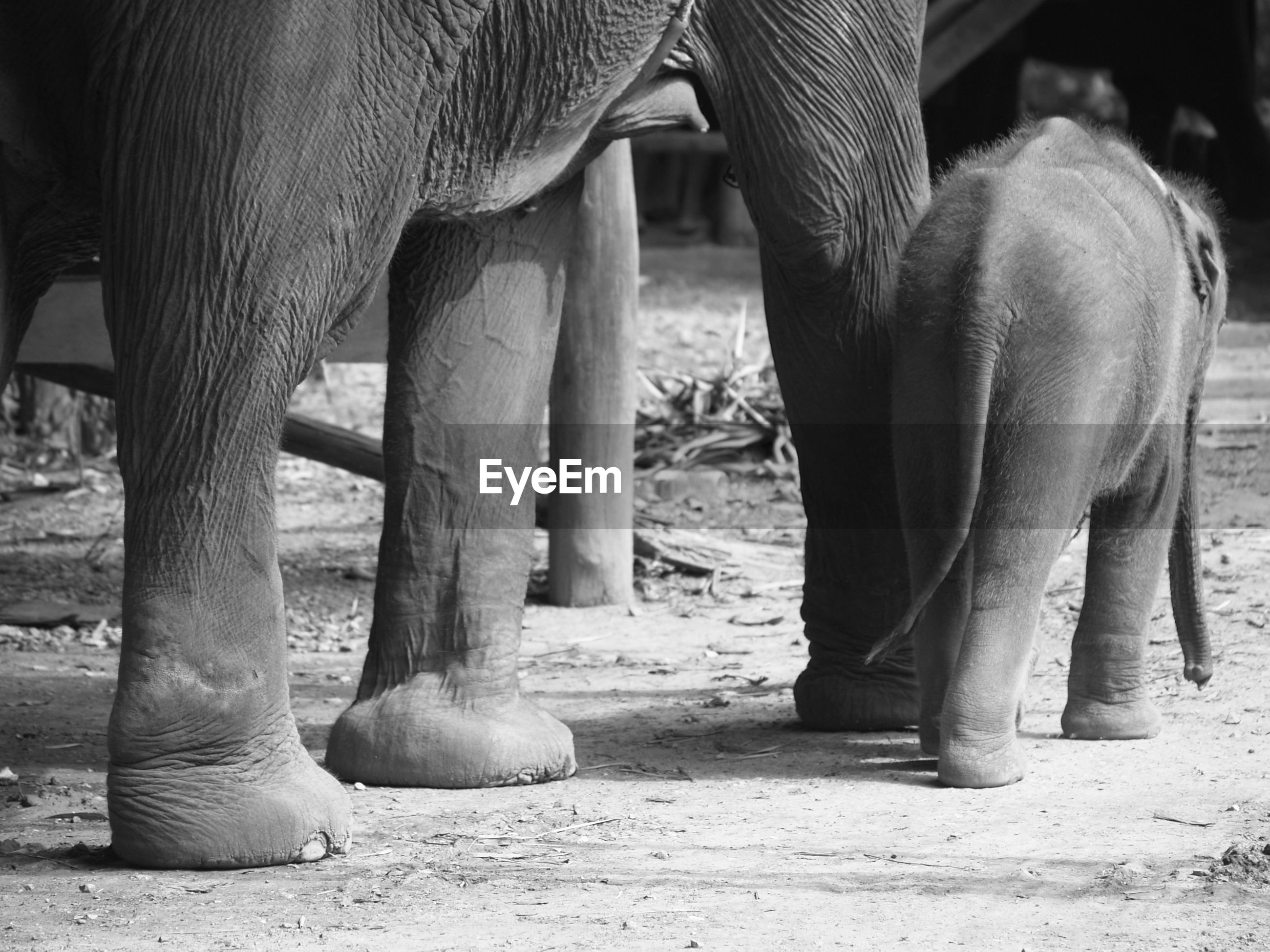 Low section of elephant with calf in forest