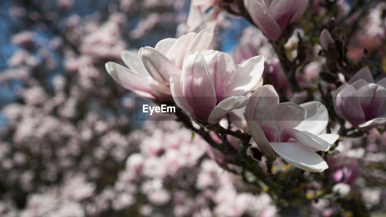 flowering plant, flower, fragility, beauty in nature, vulnerability, freshness, plant, growth, petal, close-up, pink color, blossom, springtime, flower head, nature, tree, day, no people, branch, inflorescence, outdoors, cherry blossom, cherry tree, spring