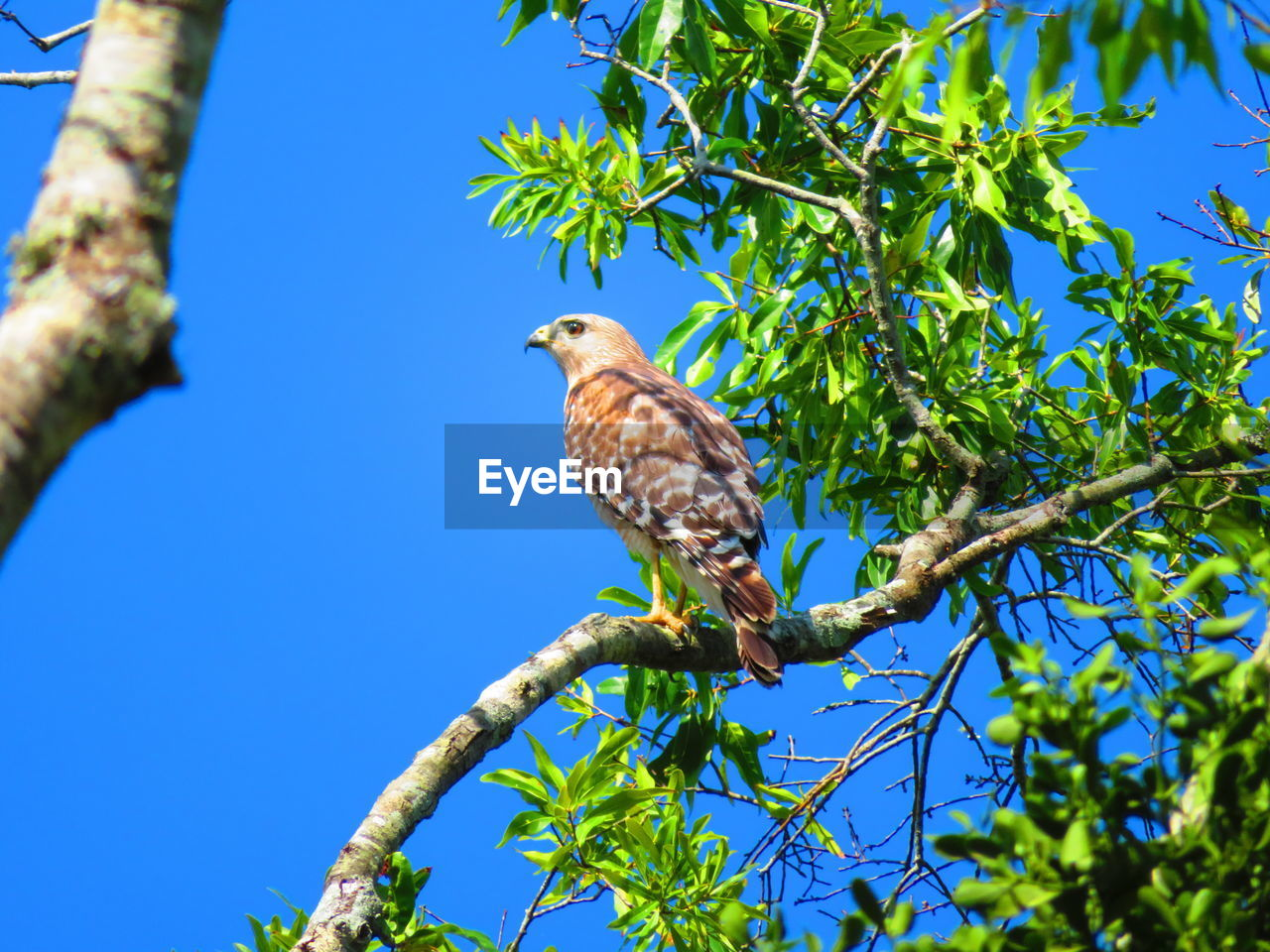 tree, plant, bird, animal themes, animal, vertebrate, animals in the wild, animal wildlife, perching, one animal, branch, low angle view, blue, nature, sky, no people, leaf, plant part, clear sky, day, eagle