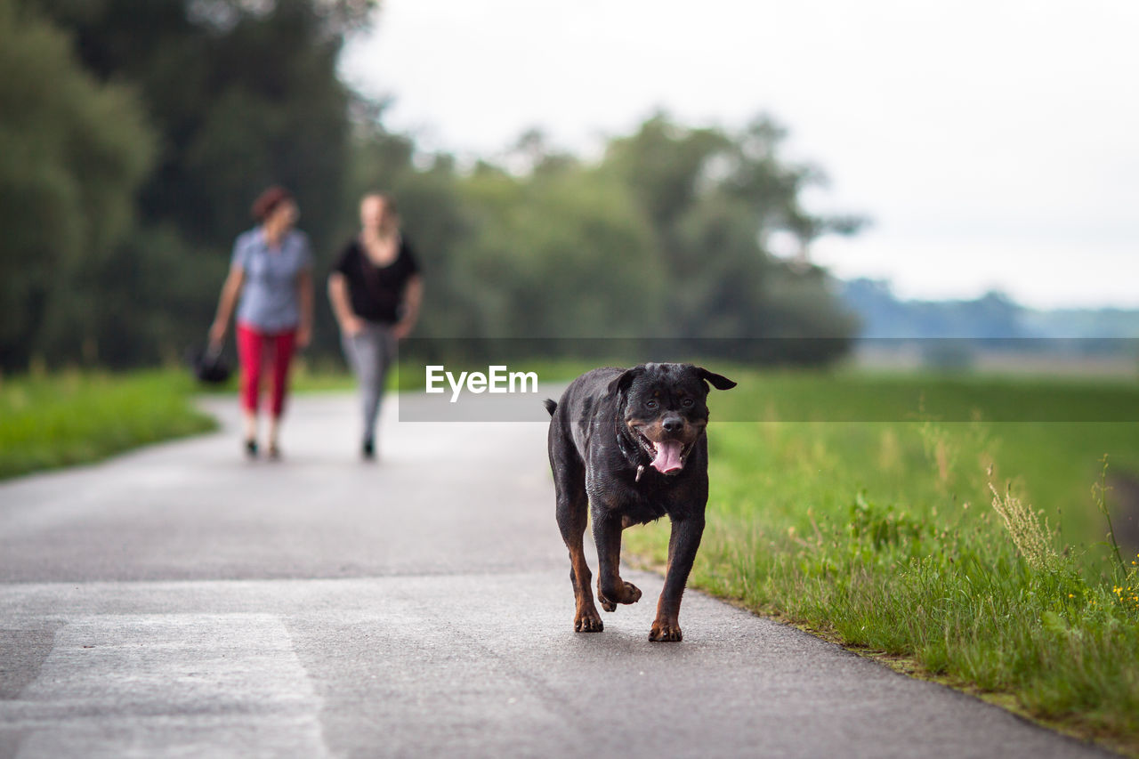 Rottweiler Walking On Footpath With Friends In Background
