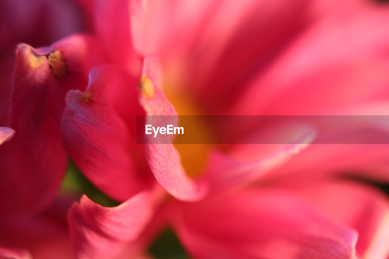 flower, petal, nature, beauty in nature, growth, fragility, freshness, flower head, selective focus, blooming, plant, no people, backgrounds, outdoors, pink color, day, full frame, close-up