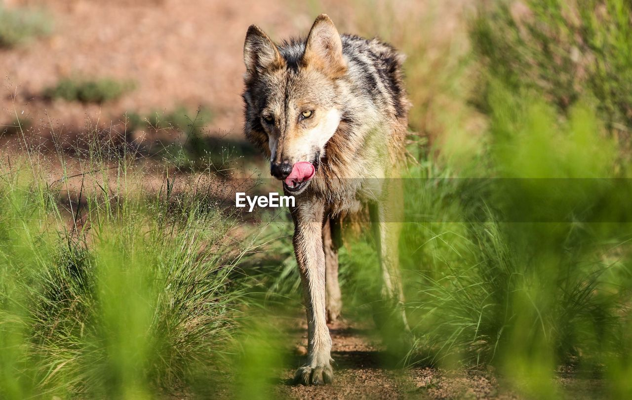 animal, one animal, animal themes, animal wildlife, mammal, animals in the wild, vertebrate, plant, grass, nature, day, land, no people, canine, dog, selective focus, pets, field, domestic, outdoors, mouth open