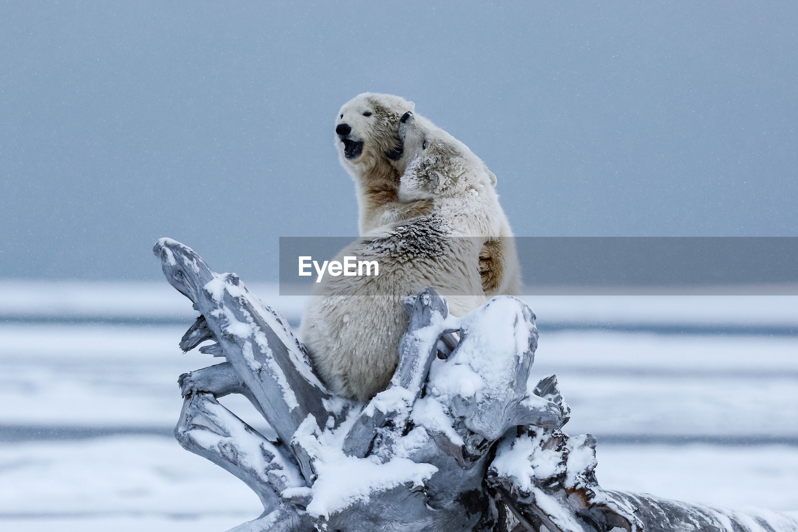 Polar bears fighting on fallen tree