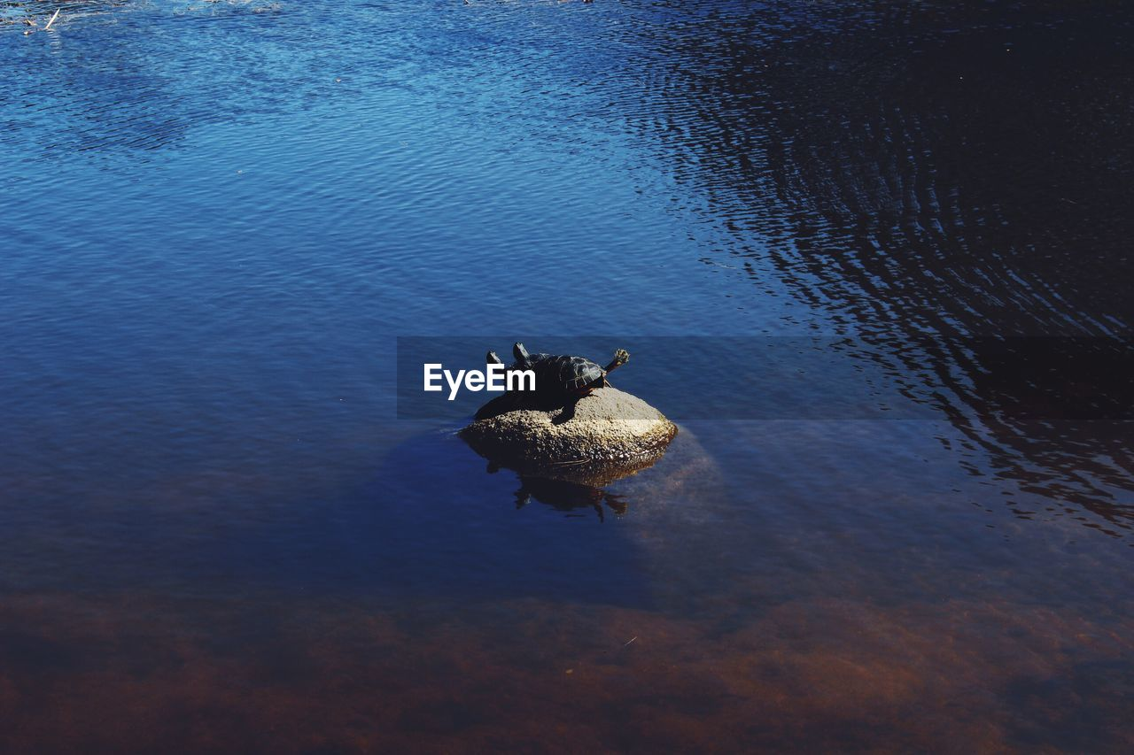 High Angle View Of Turtles Mating On Rock Amidst Lake