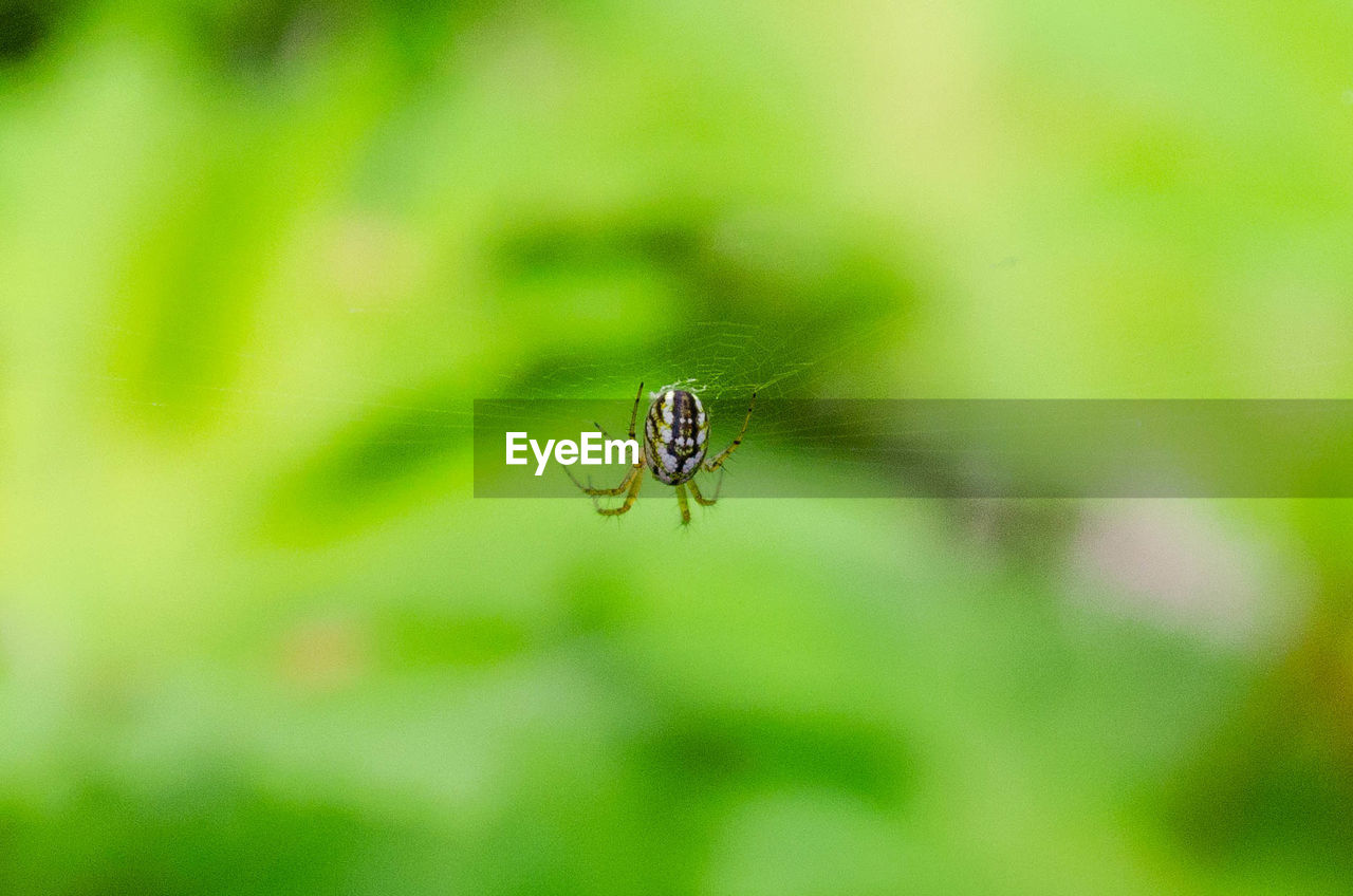 invertebrate, insect, animals in the wild, animal, one animal, animal themes, close-up, animal wildlife, plant, green color, focus on foreground, day, selective focus, no people, spider, nature, arthropod, spider web, fragility, growth, outdoors