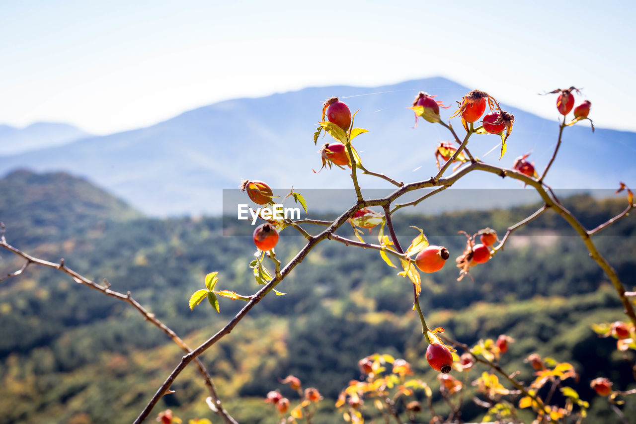 plant, beauty in nature, focus on foreground, growth, nature, freshness, close-up, no people, fruit, day, flower, red, sky, healthy eating, tranquility, food, food and drink, mountain, rose hip, flowering plant, outdoors, flower head, rowanberry