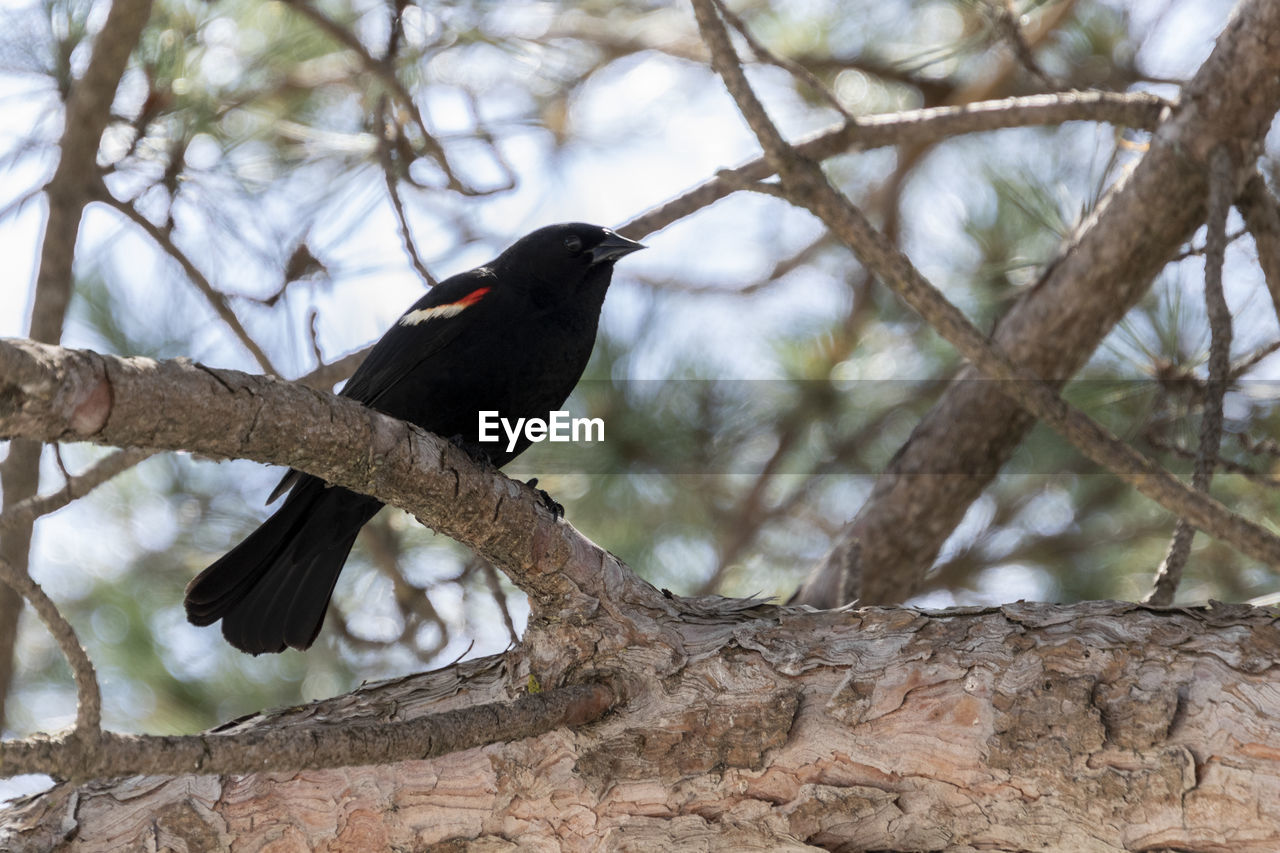 animals in the wild, animal themes, bird, vertebrate, animal, animal wildlife, tree, one animal, branch, perching, low angle view, plant, day, focus on foreground, no people, nature, outdoors, black color, zoology, blackbird
