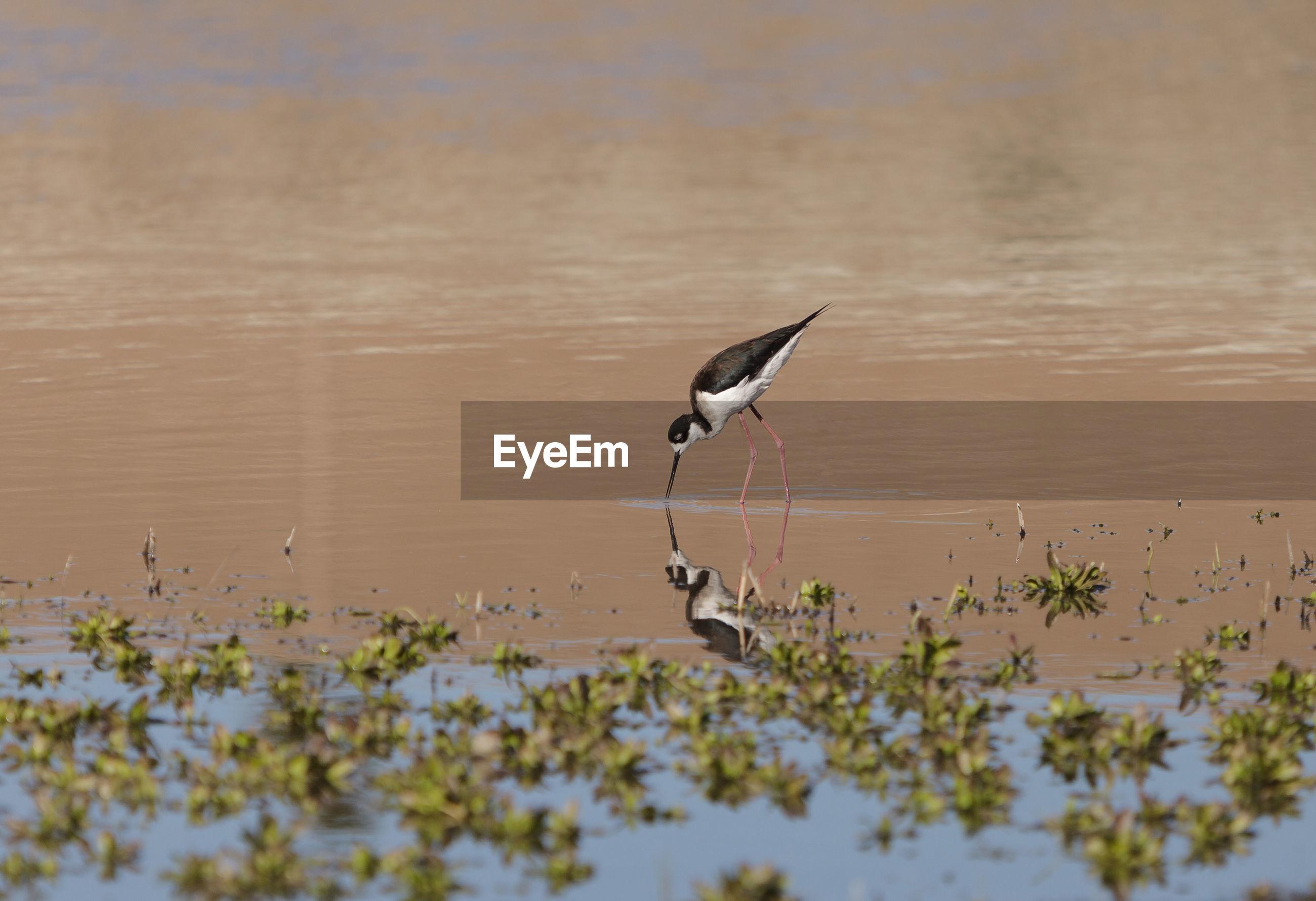 Black-necked stilt in lake